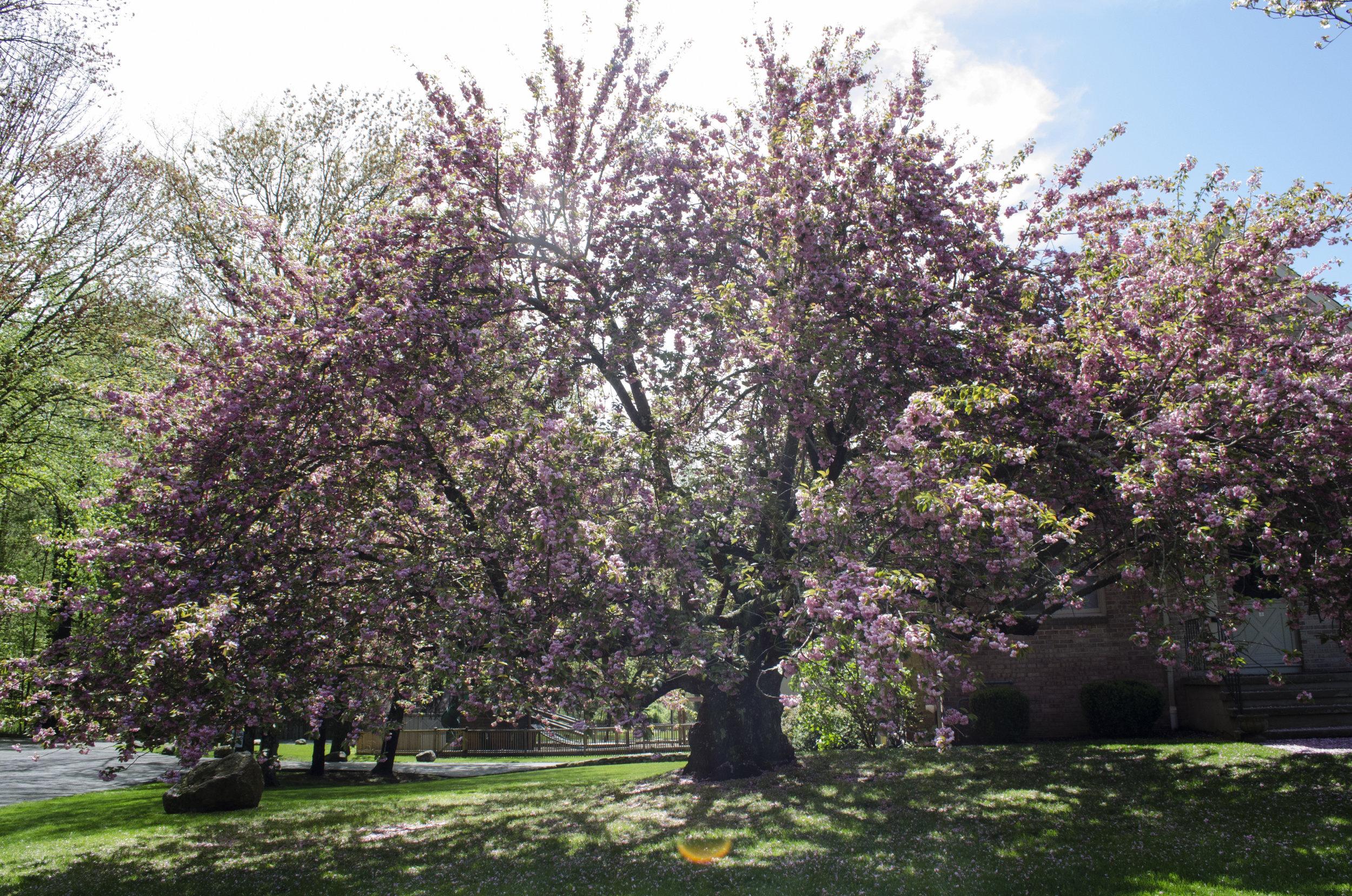 Cherry_Blossums.jpg