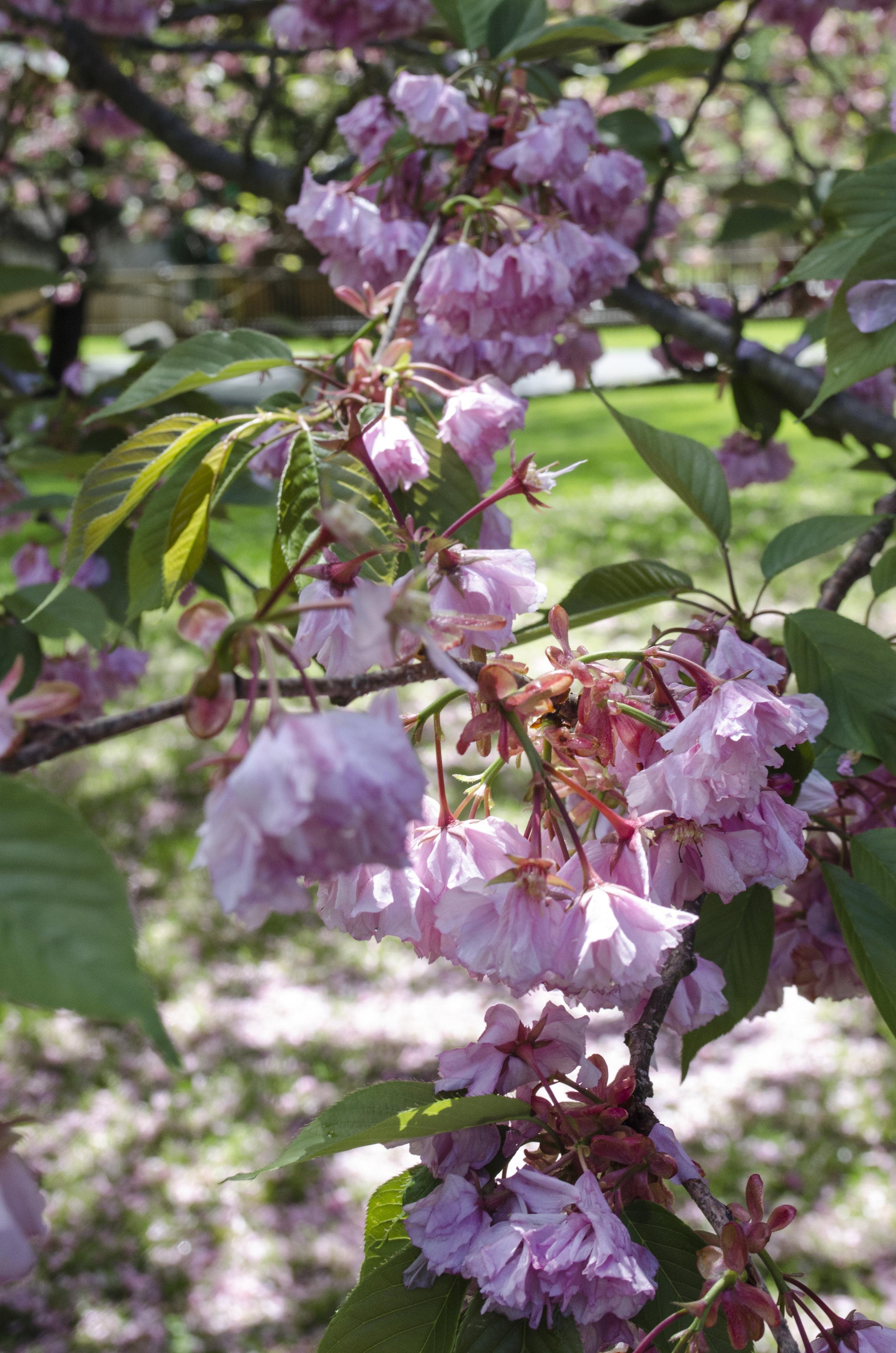 Cherry_Blossom_2.jpg