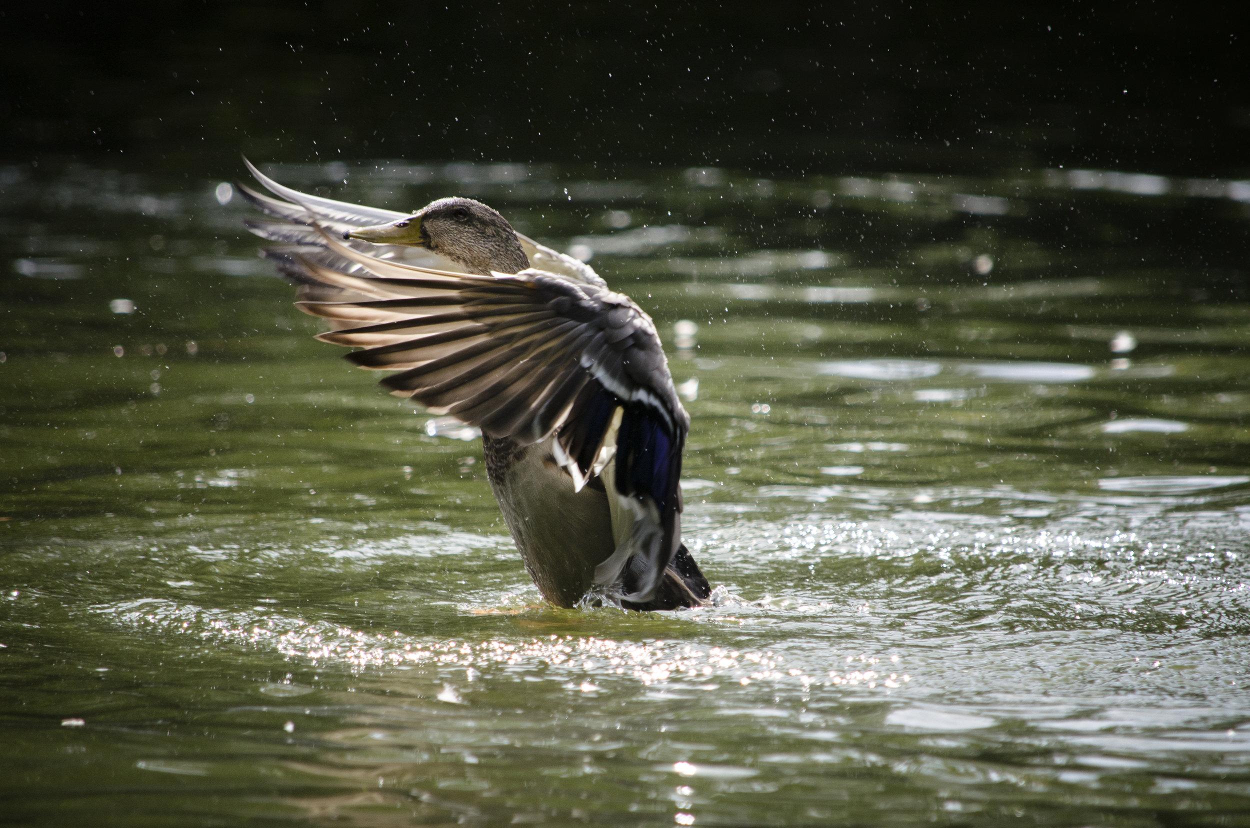 duck-pond-1_36885323882_o.jpg