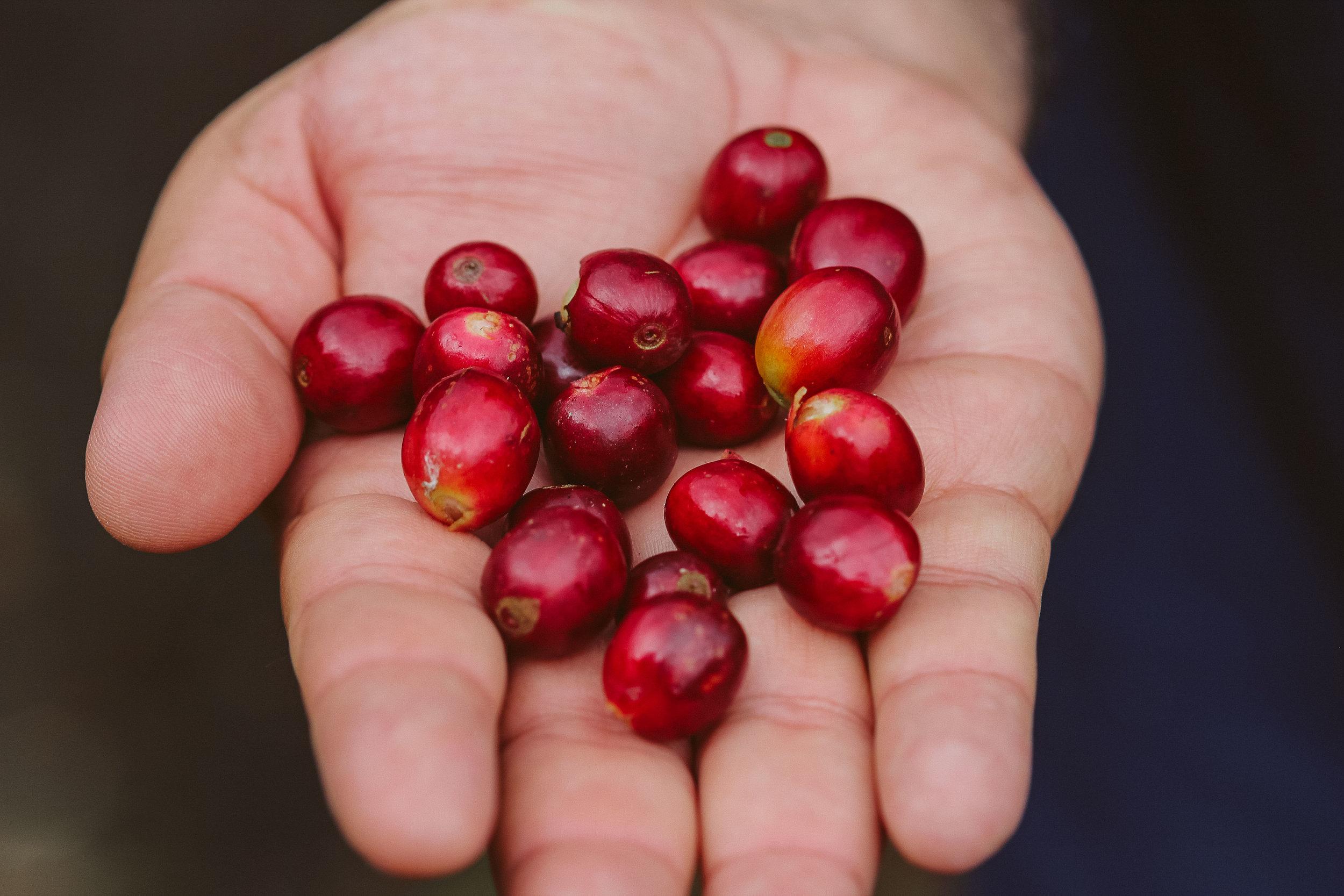Organic coffee cherries from Finca La Hammonia