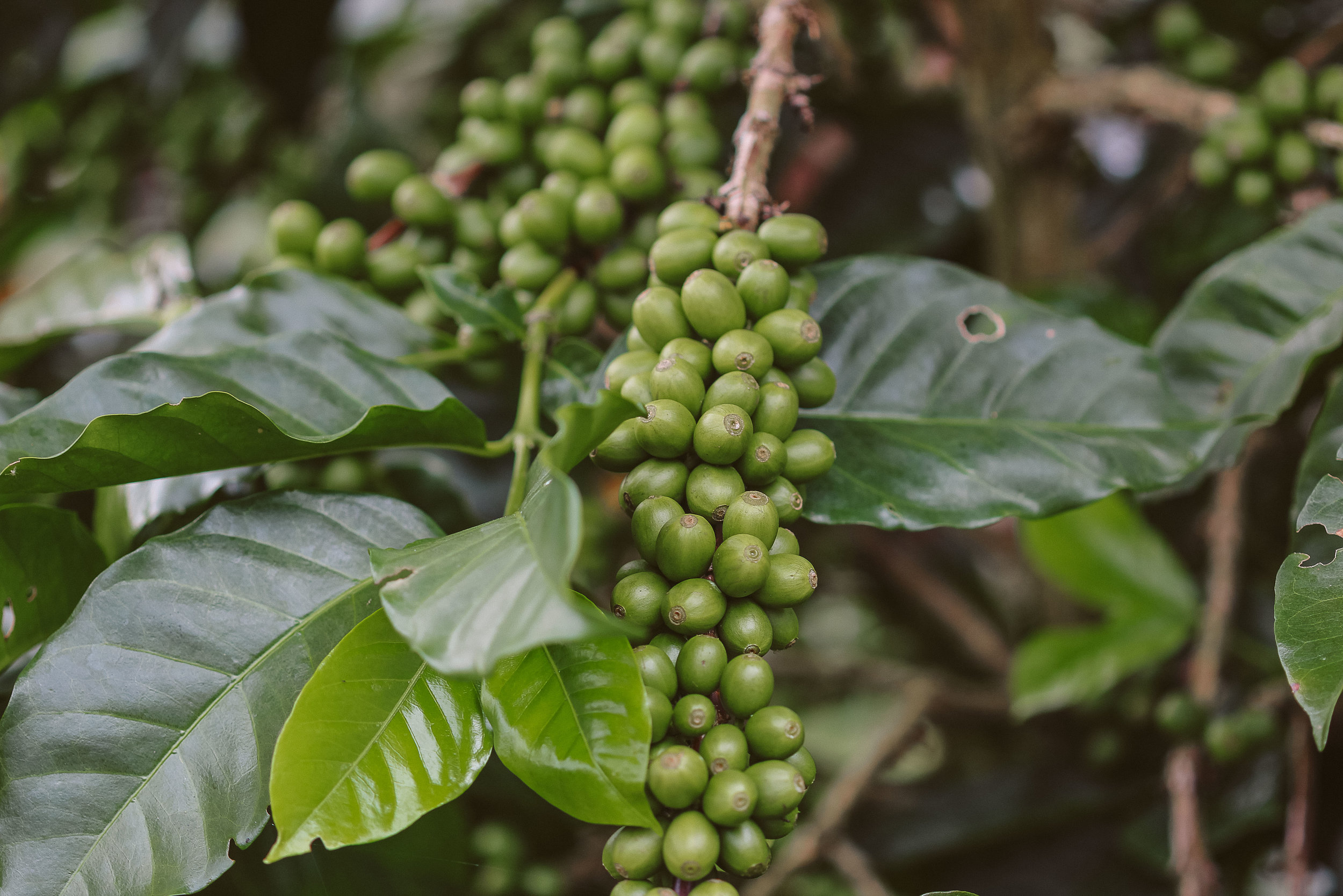 Coffee tree laden with unripened cherries