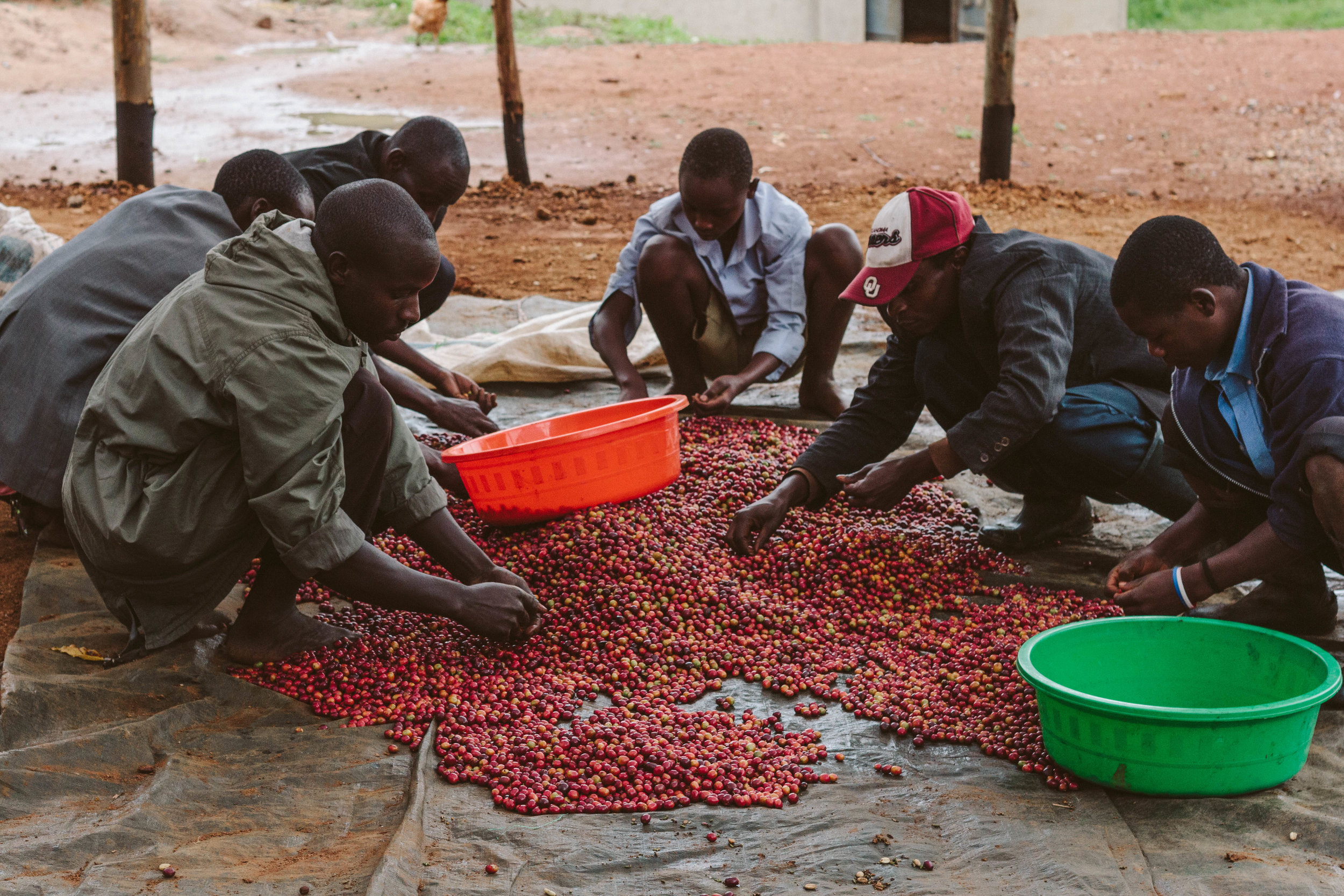 Farmers working with Zukuka Bora meticulously select the best cherries