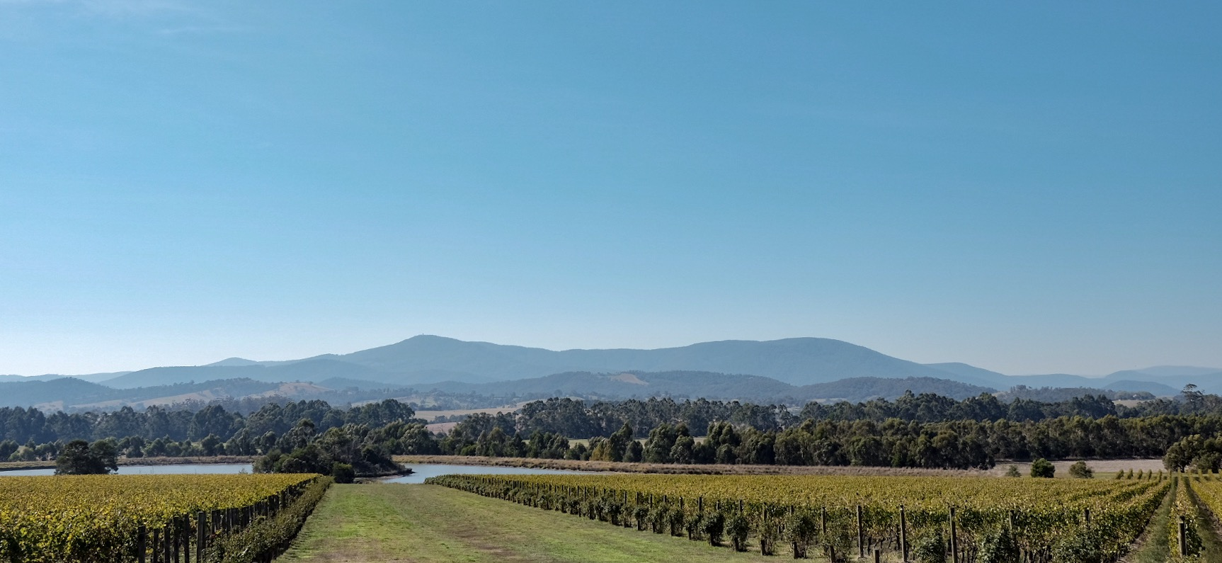 The heart of Yarra Valley: fields of grapes as far as the eye can see.
