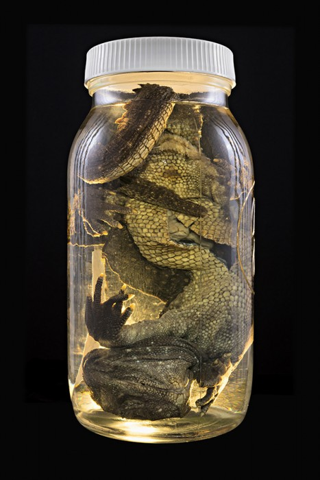 Neil Pardington  Sphenodon punctatus  (Tuatara), Auckland Museum Tamaki Paenga Hira #4, 2013 Pigment print on Hahnemühle photo rag baryta Portfolio edition of 3 (set of 12 prints), Individually edition of 10   _______