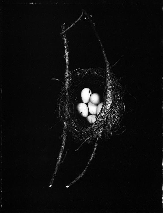 Fiona Pardington  Tauhou/Silvereye's nest with 6 eggs, Zosterops lateralis, Dunedin Botanic Garden, 2004, Otago Museum , 2007 Toned silver bromide fibre based print 600 x 500 mm  _______
