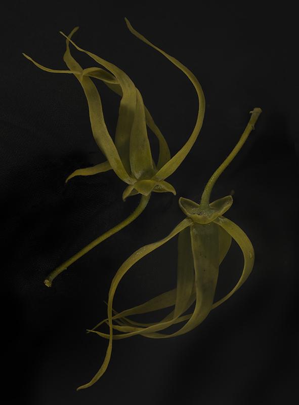 Fiona Pardington  Mokosoi Nine , 2014 Inkjet print on Epson Hot Press 310gsm cotton rag Dimensions variable Edition of 10  _______