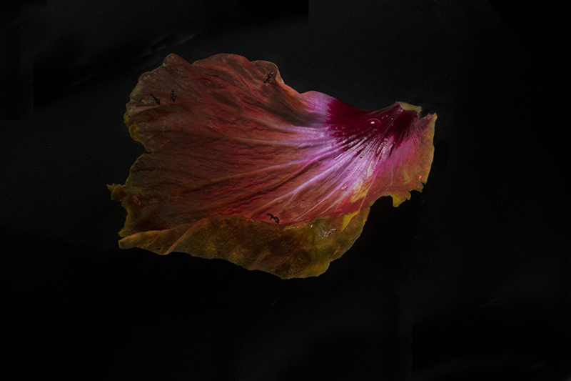 Fiona Pardington  Ants on Hibiscus petal , 2014 Inkjet print on Epson Hot Press 310gsm cotton rag Dimensions variable Edition of 10  _______