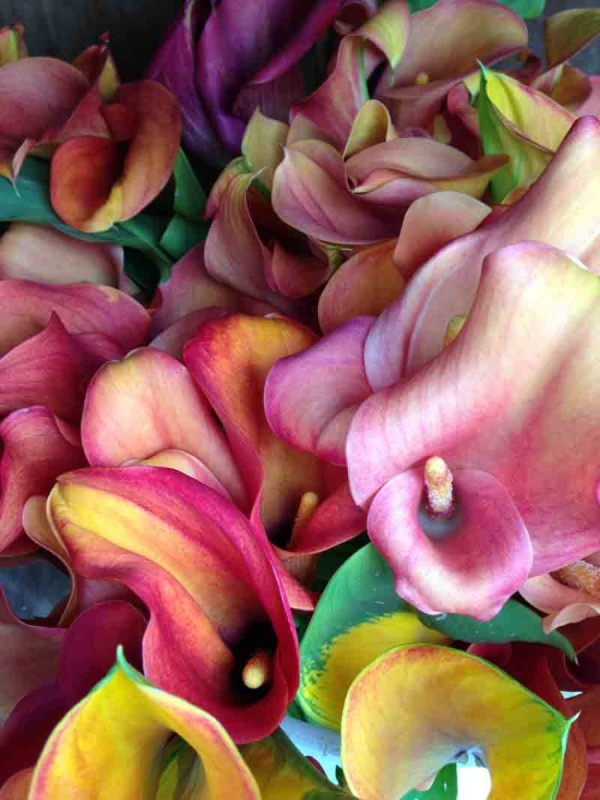 Peter Peryer  Calla Lillies,  2012 Pigment inks on paper 400 x 300 mm [Private collection]  ______