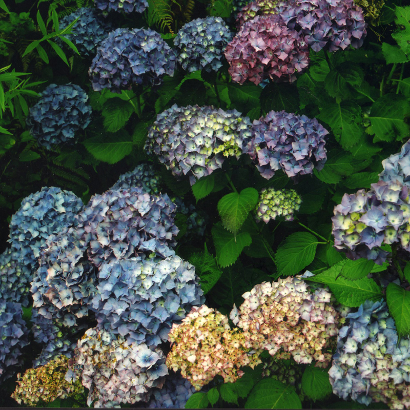 Ans Westra  Hydrangeas , 2006 Inkjet on Ilford Galerie gold fiber silk 315 gsm, 2019 950 x 950 mm Edition of 5 + 2 APs $7,000 incl GST  _______