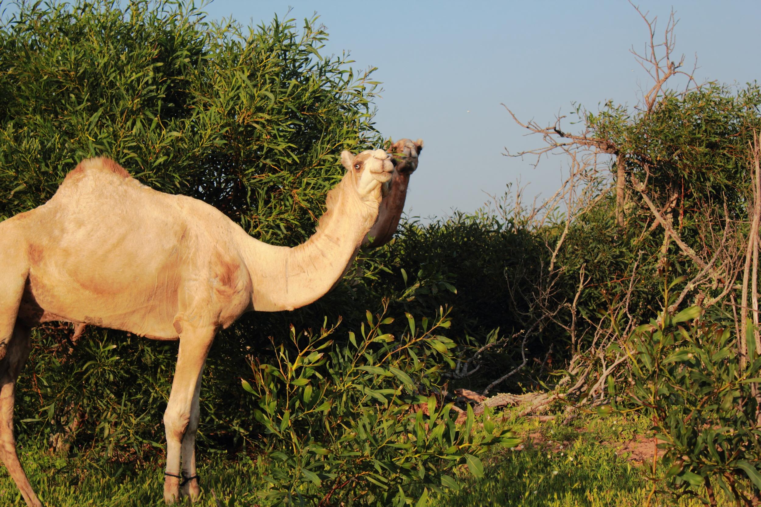 Essa_Camels_002.JPG