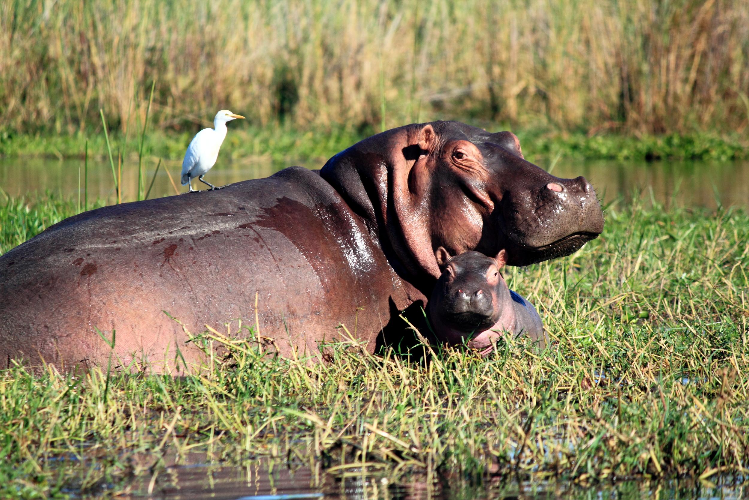 Baby Hippo and Bird_02.JPG
