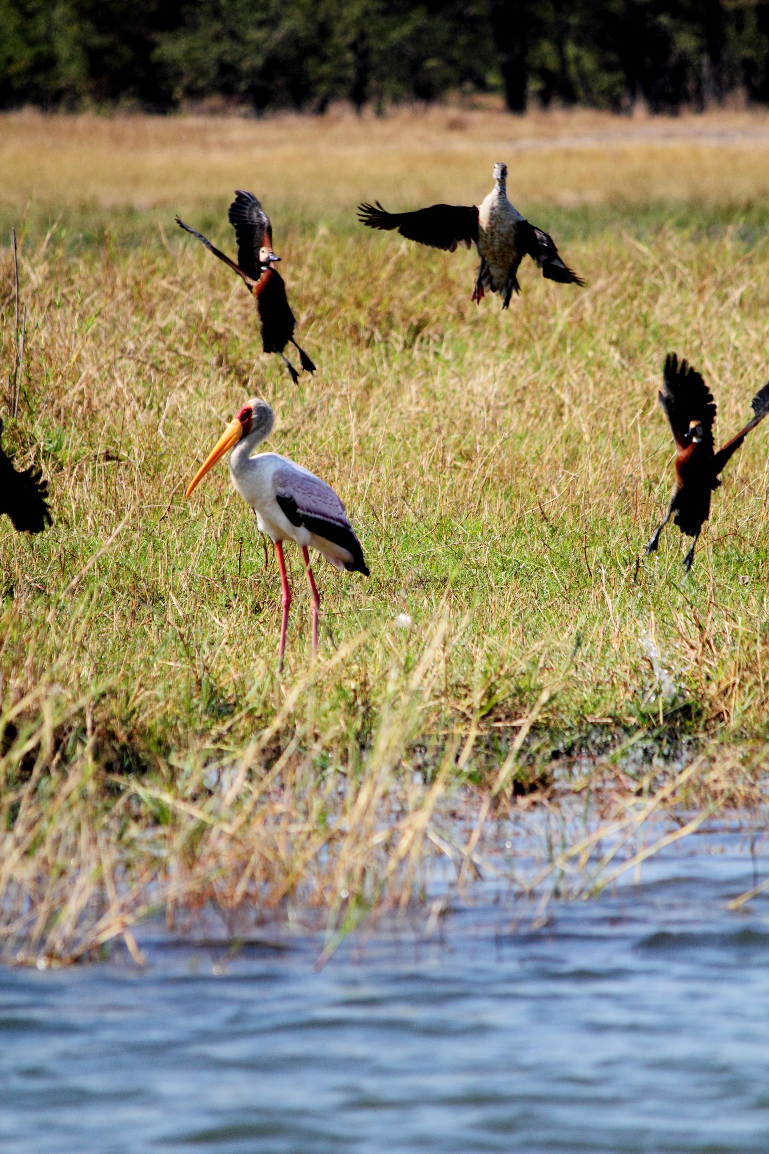 Stork and Ducks_01.JPG