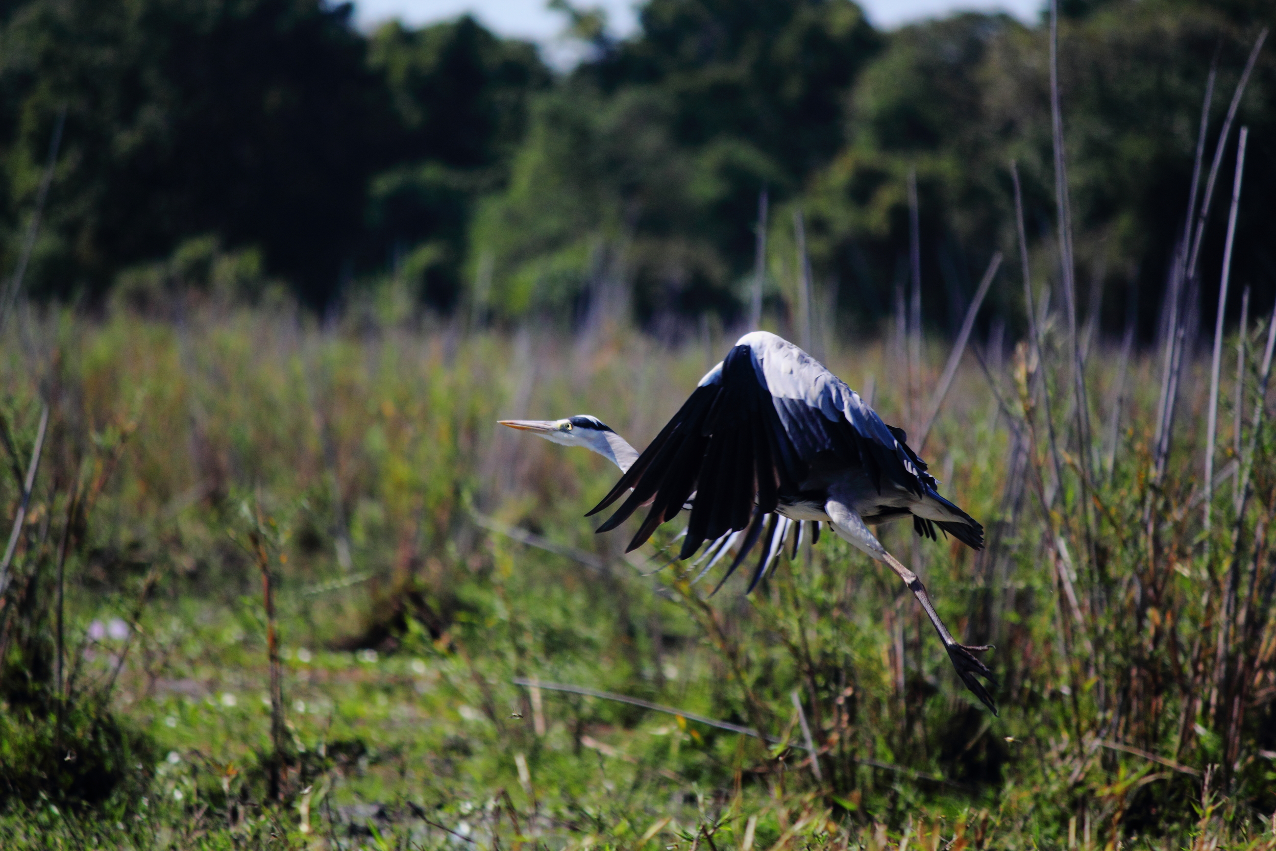 Bird in Flight_01.JPG