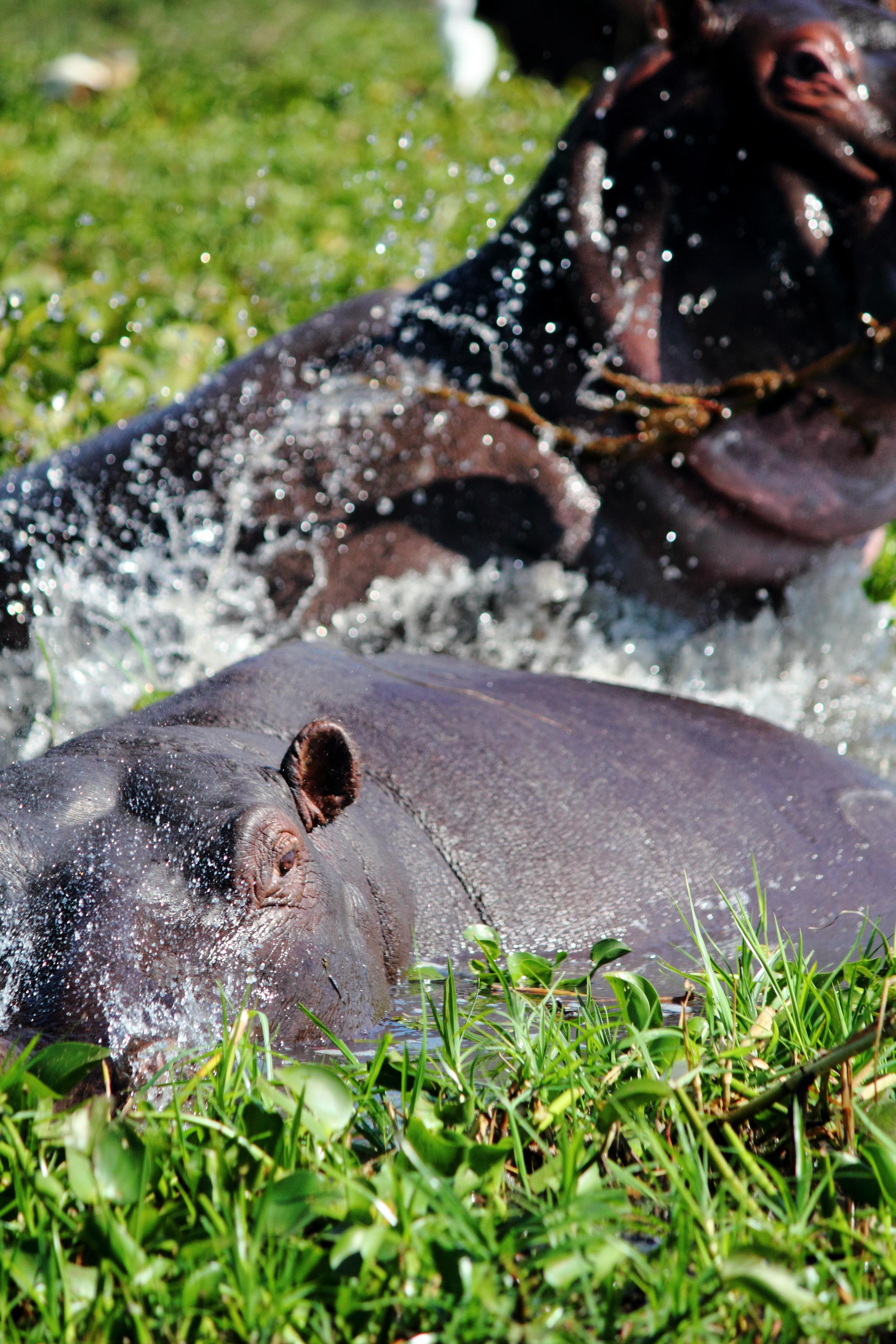 Hippos_01.JPG