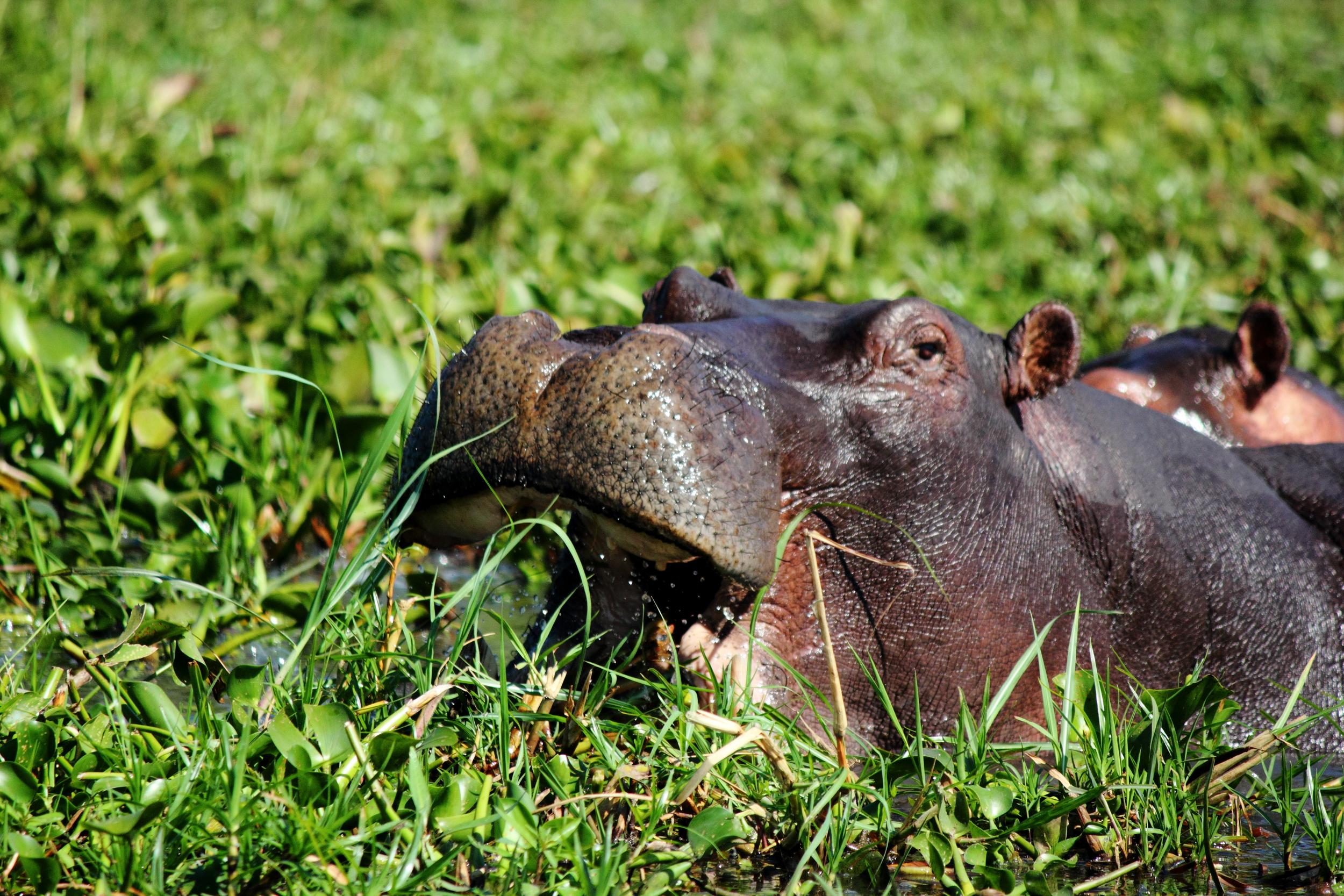 Hippo Single_03.JPG