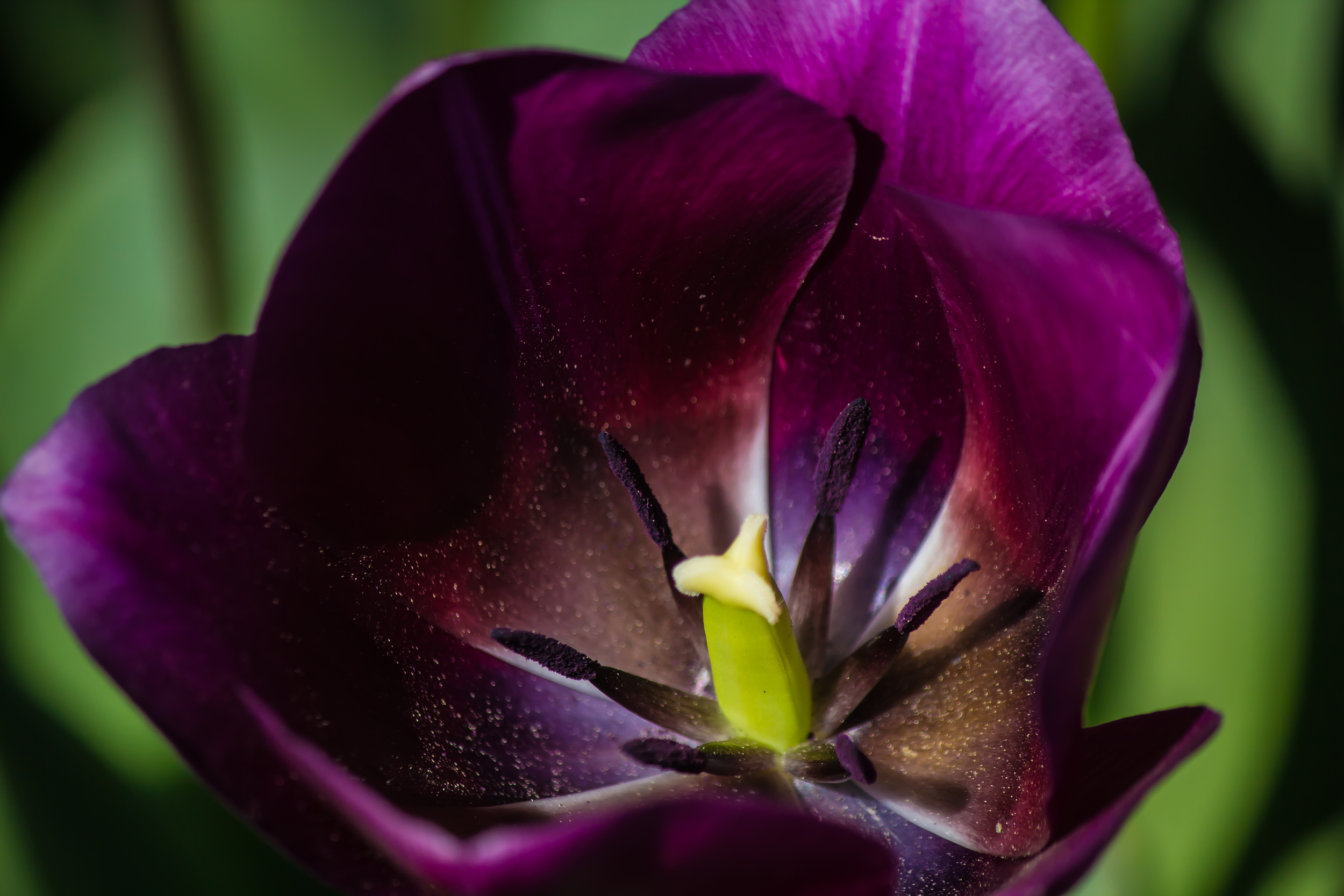 Inside Purple Tulip-1.jpg