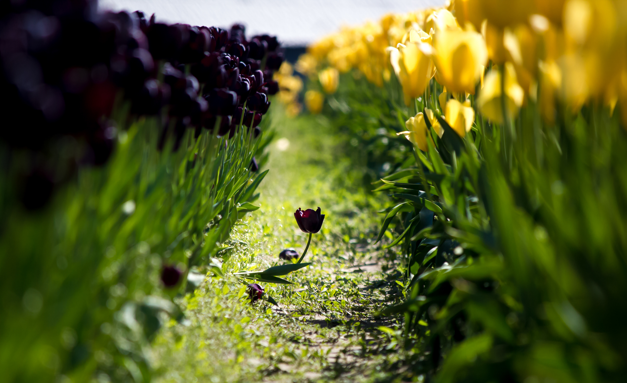 Single Tulip Lane-1.jpg
