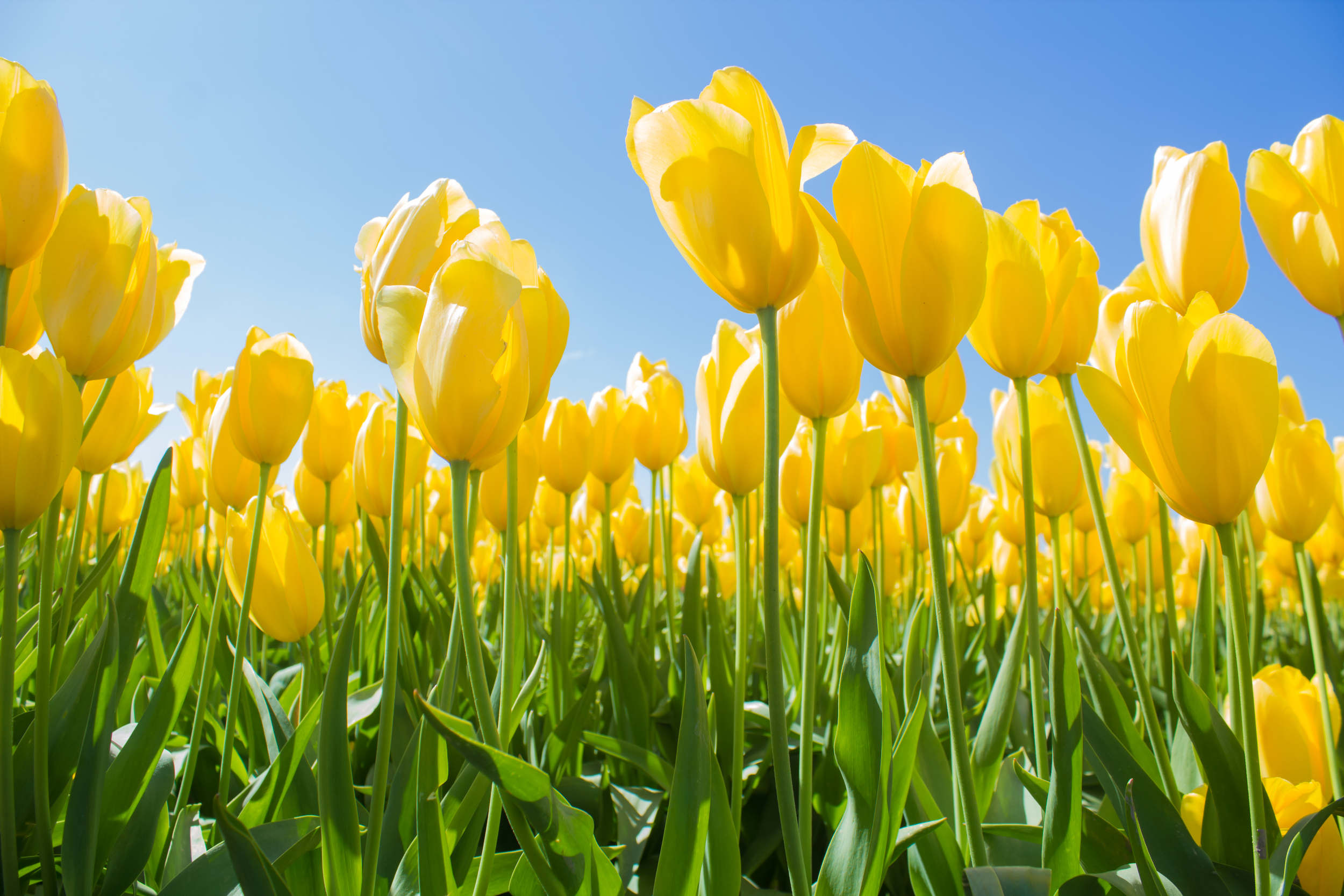 Yellow Tulip Giants-1.jpg
