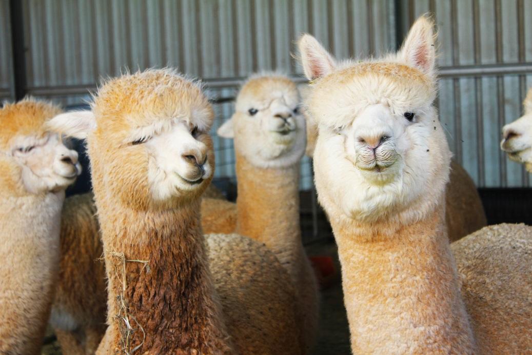 Bumblehill Alpacas