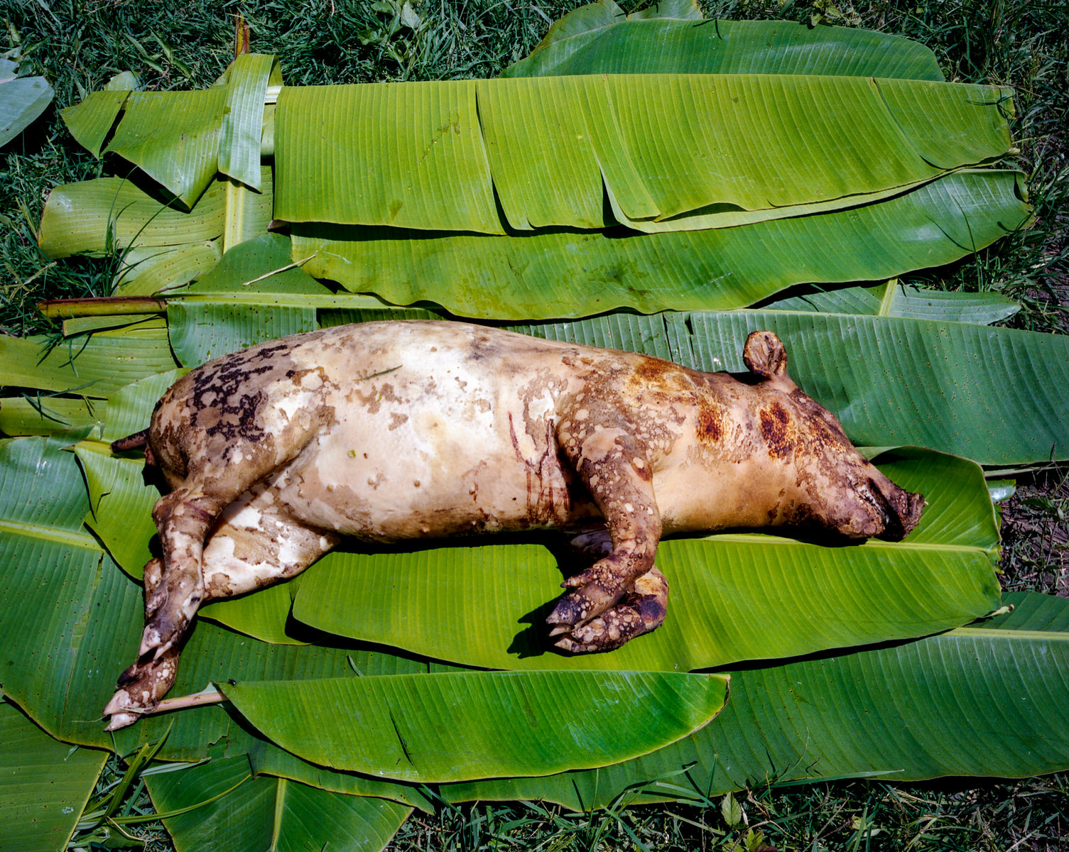 """A pig is used to perform """"adat"""", a traditional healing ritual in Tanah Papua."""