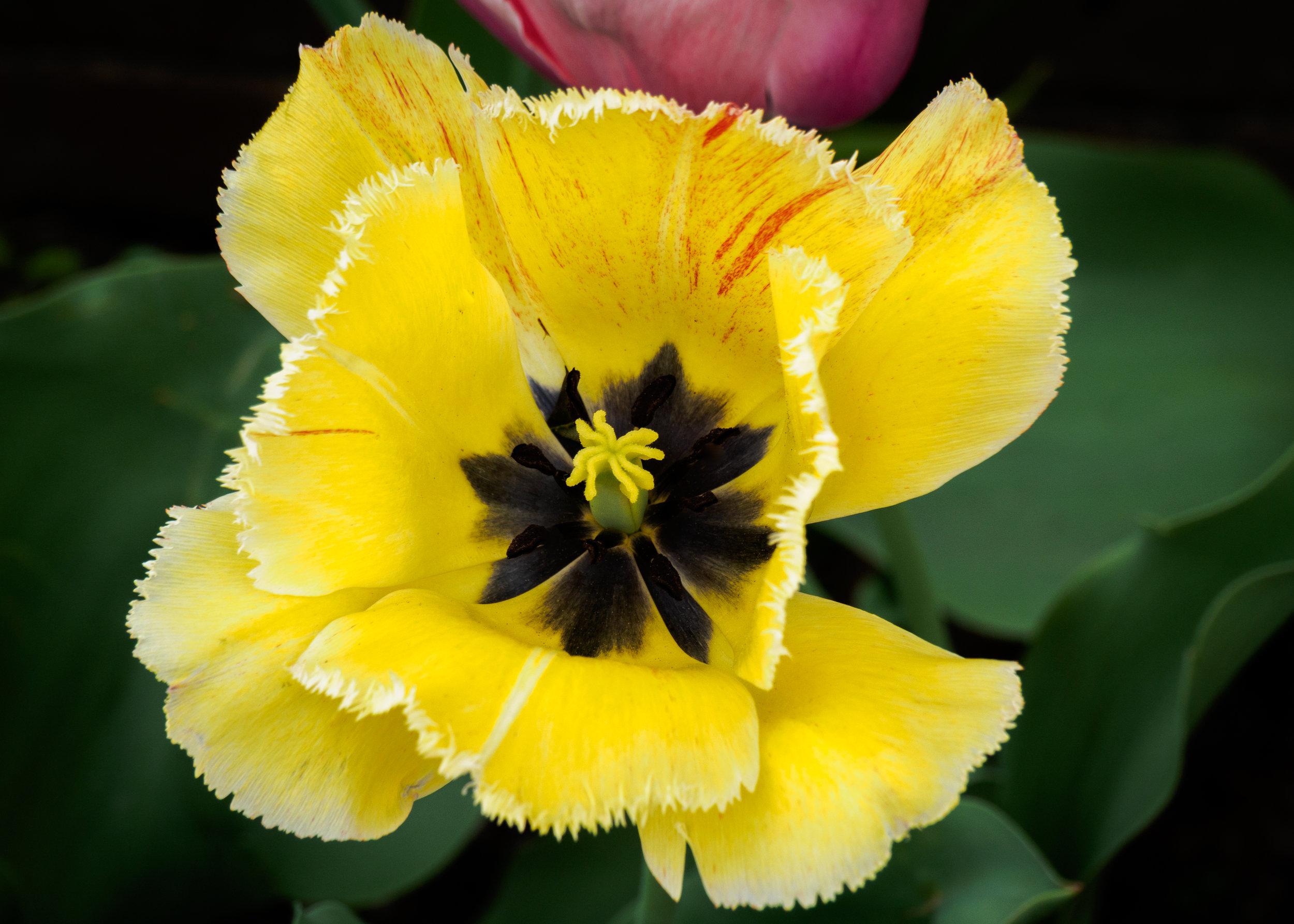 20160422-Fringed Yellow Tulip-MLS0268.jpg