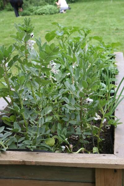 Herbs growing at Hopetown Hostel
