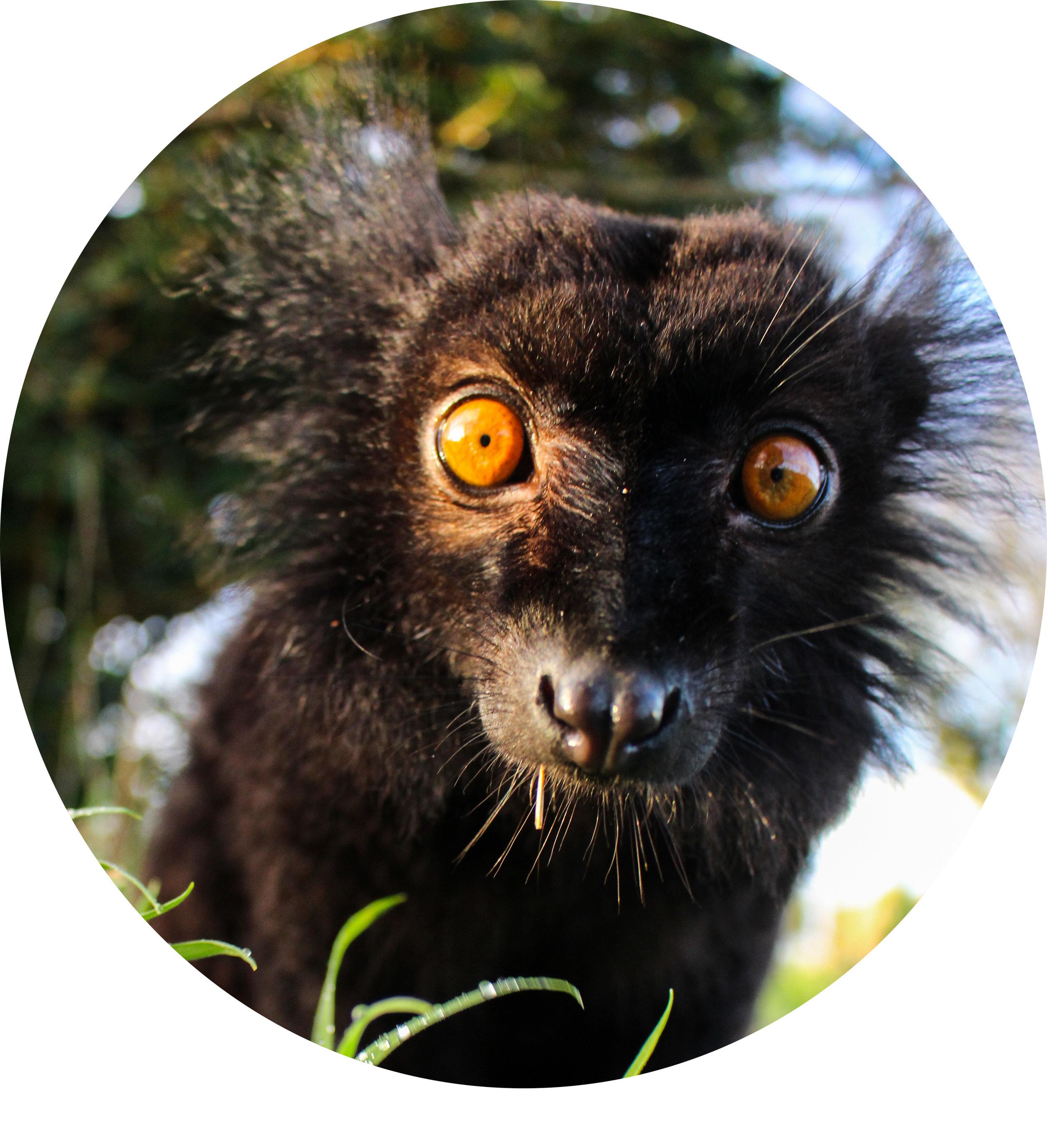 Black Lemur IMG_9273 copy.jpg