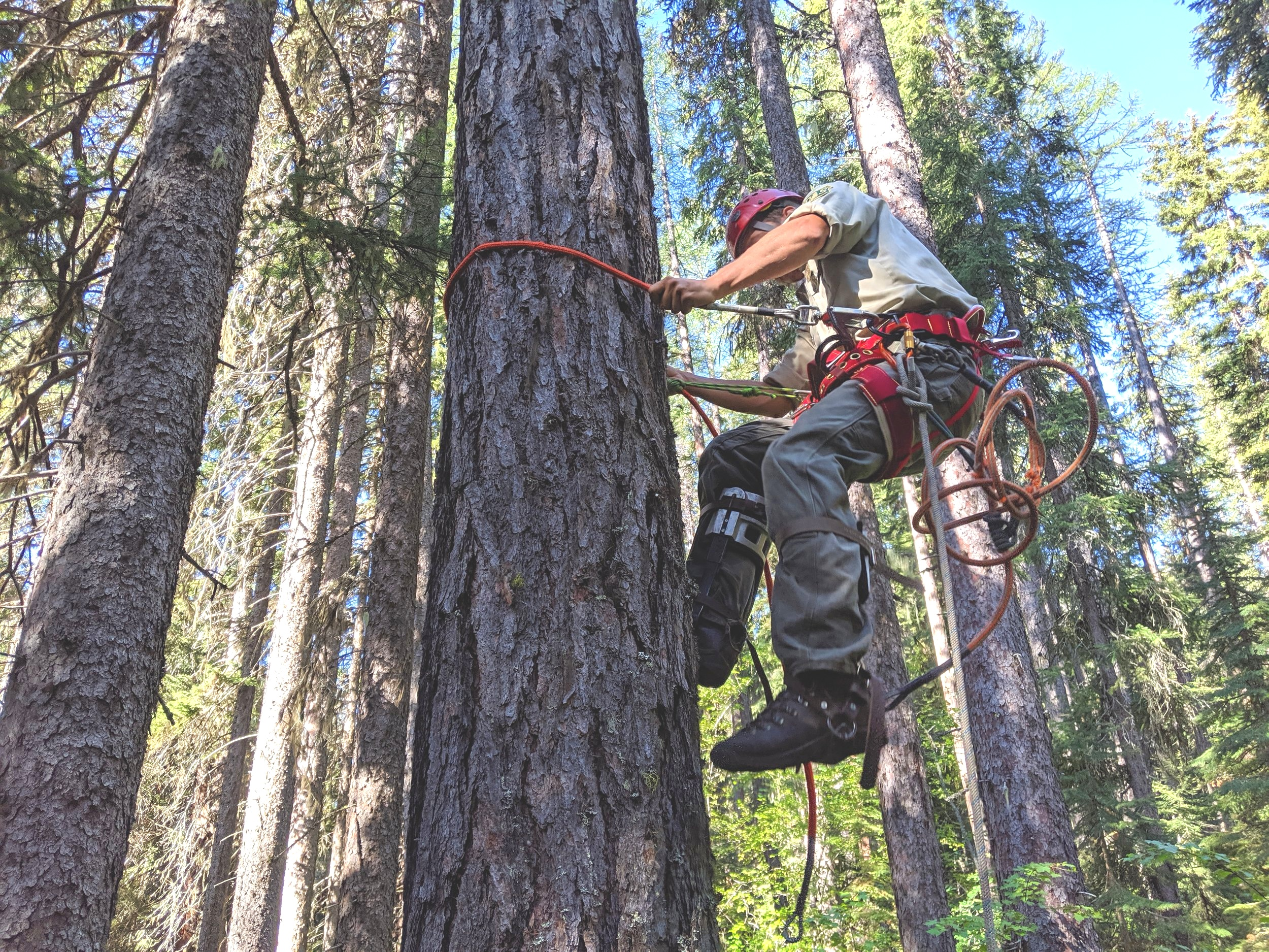 Adam Washebek climbs the Larch Tree to rig it for felling