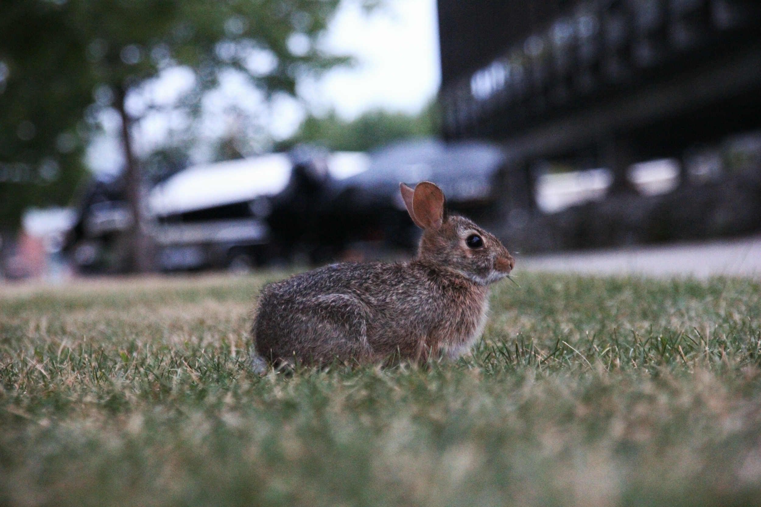 Baby bunny in Buffalo.  Saw it while walking along Erie St.