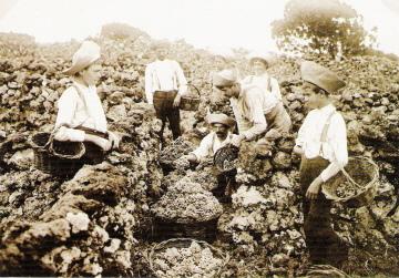 Harvesting grapes (historic photo)