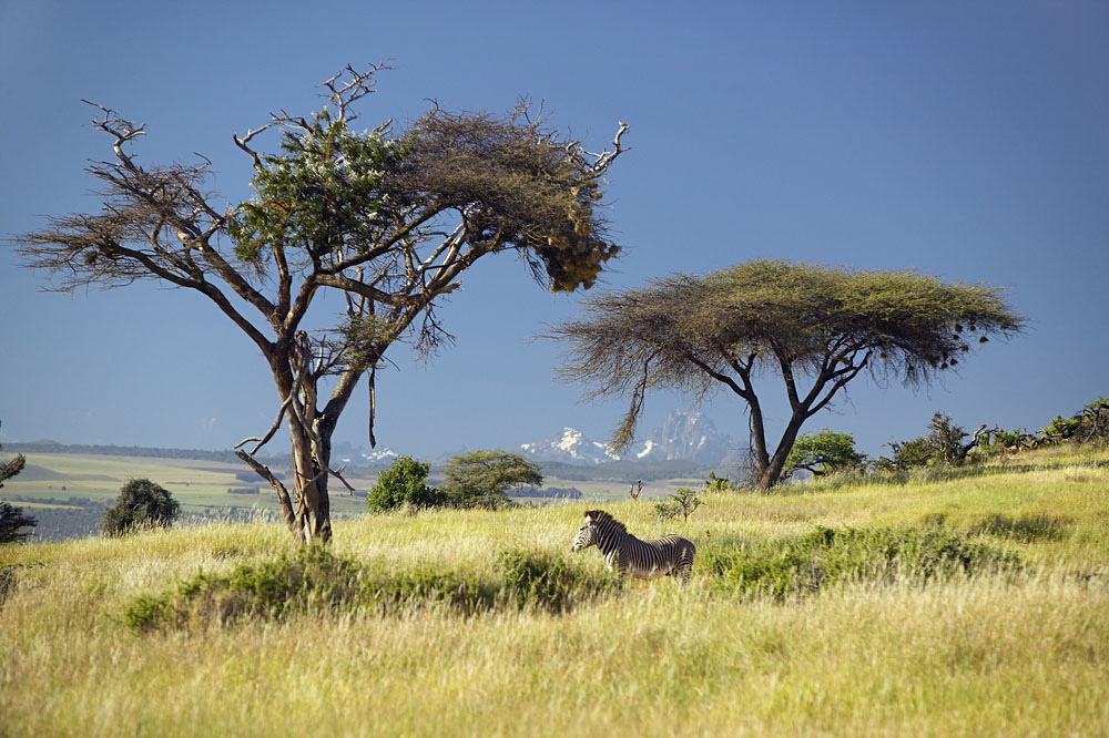 Endangered-Grevys-Zebra-and-Acacia-Tree-in-foreground-in-front-of-Mount-Kenya-in-Kenya.jpg