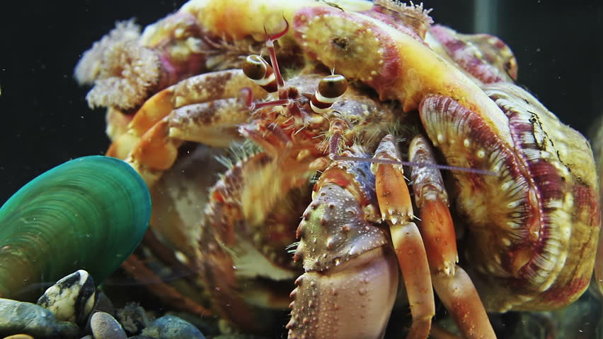 crab anemone.jpg