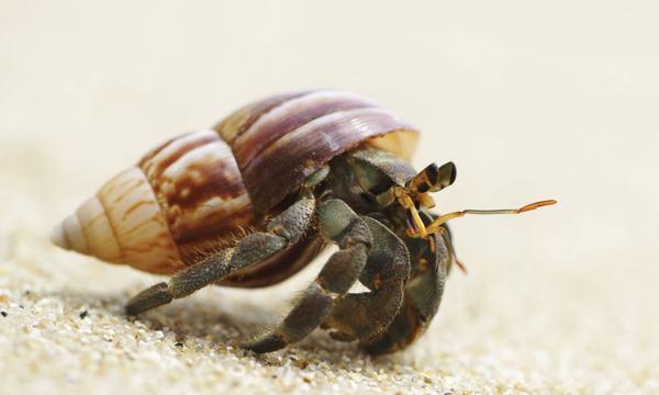 Hermit Crab 04.jpg
