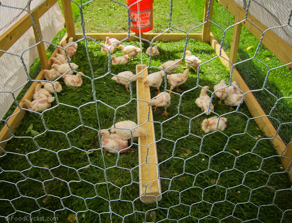 moving chicken tractors to new farm-7186