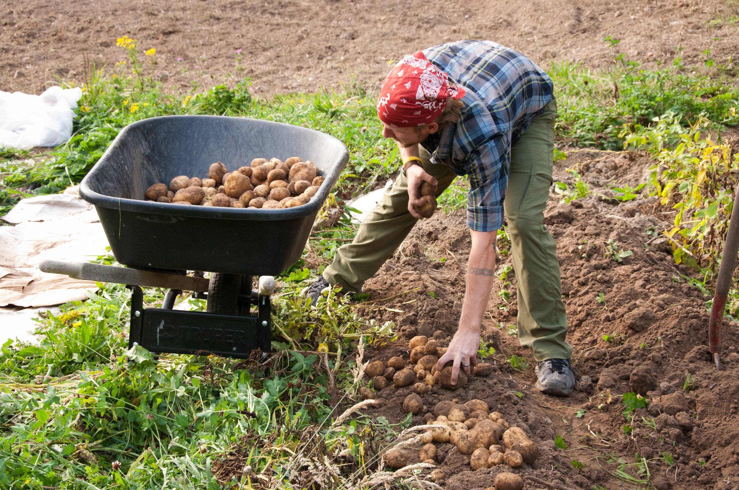 It was digging potatoes that helped me fall in love with farming in the first place.