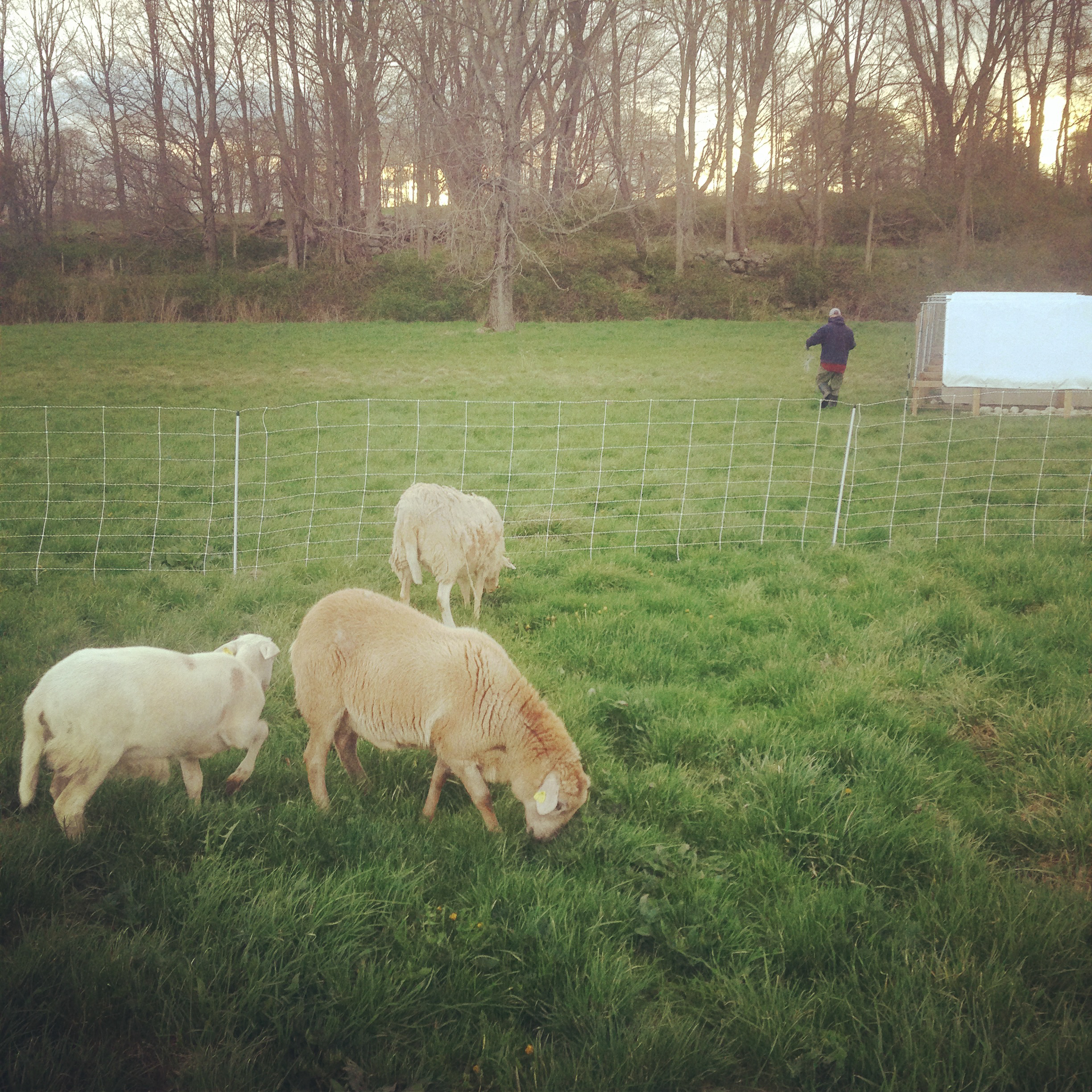 We rotated sheep in front of broilers and layers to keep grass mowed and provide us with a little mutton sausage.
