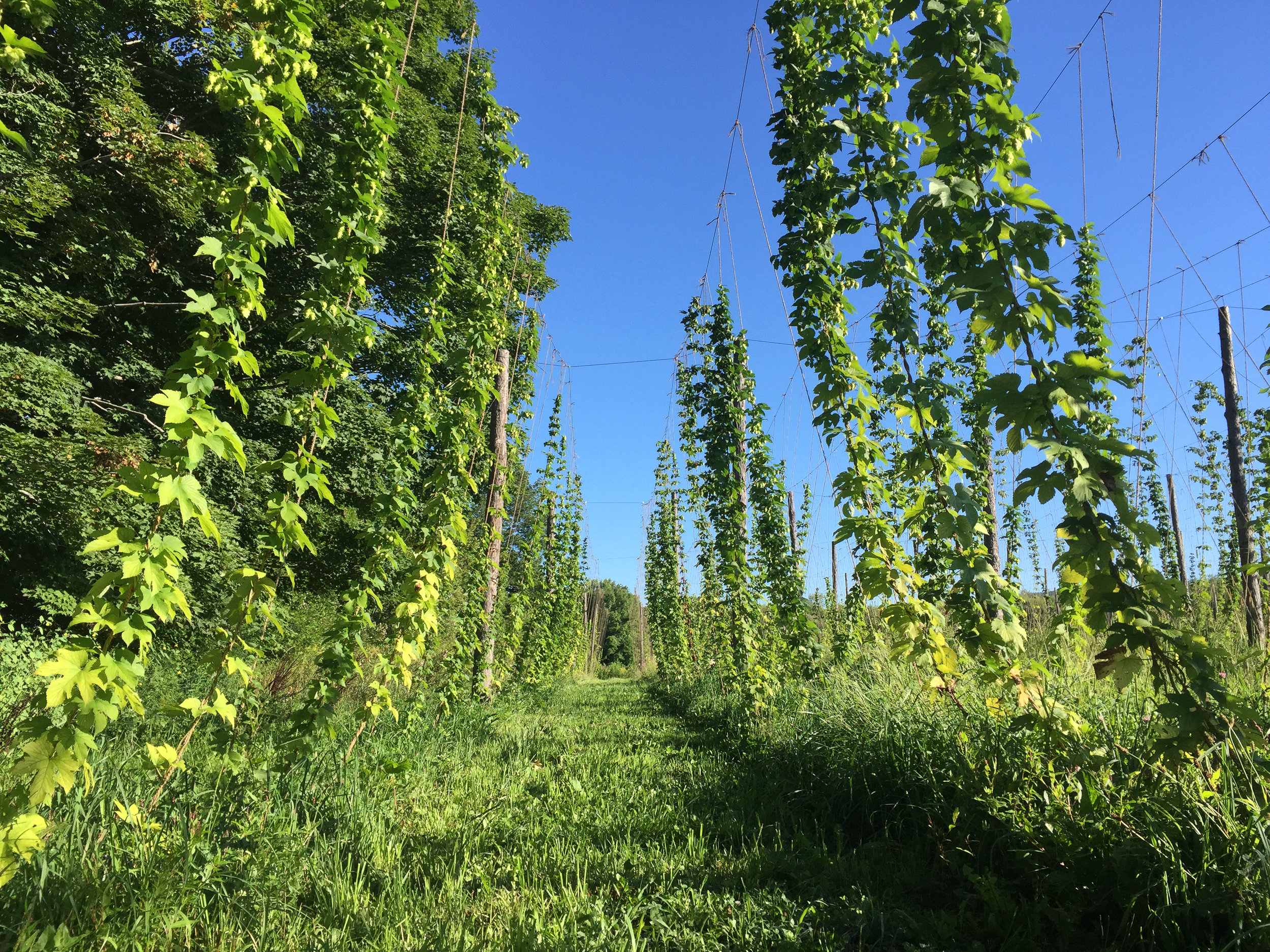 Part of our hop yard.
