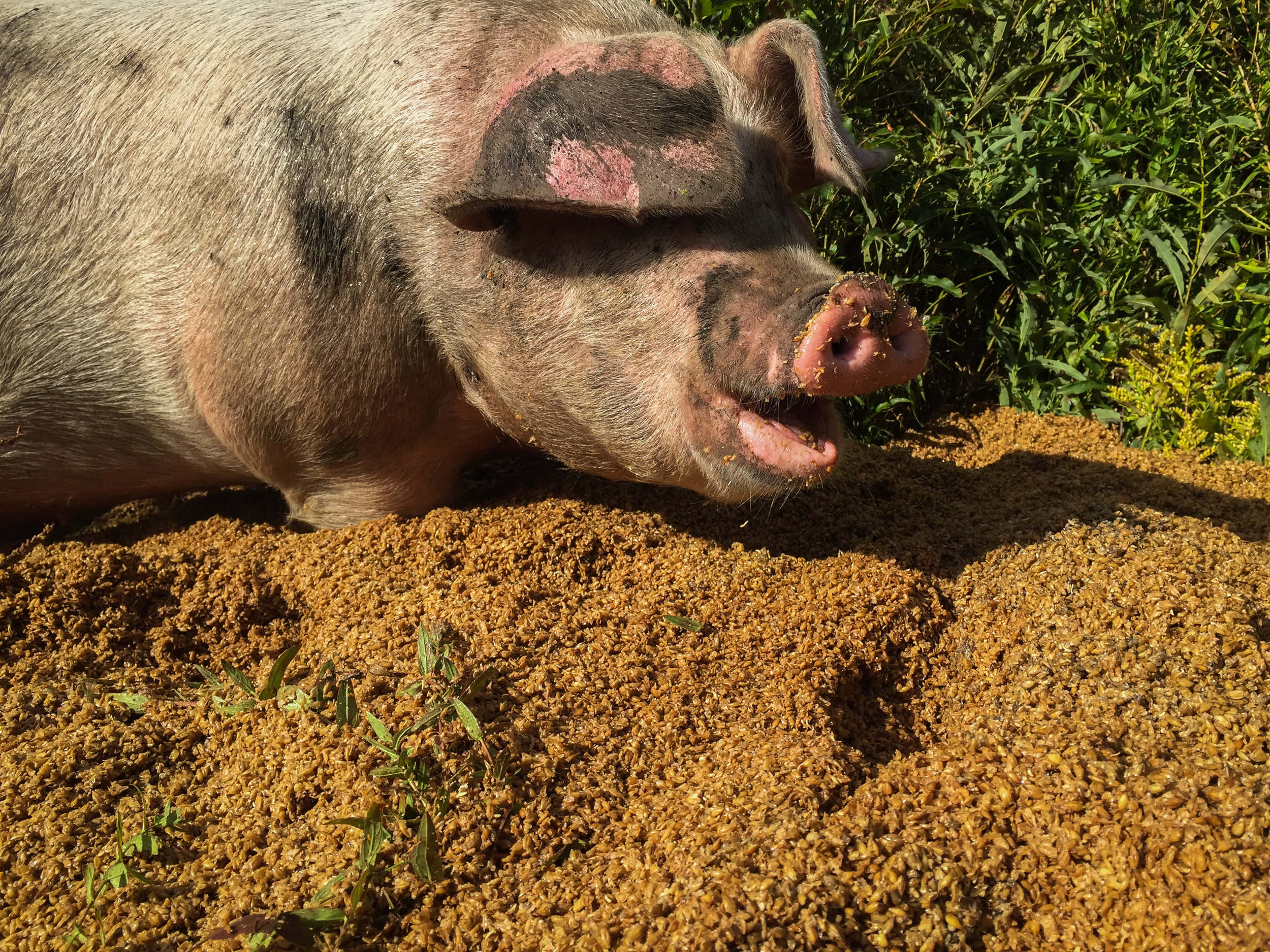 "Because I can't NOT include a picture of our big fat pigs. Here ""Rosemary"" munches on some spent brewer's grains."