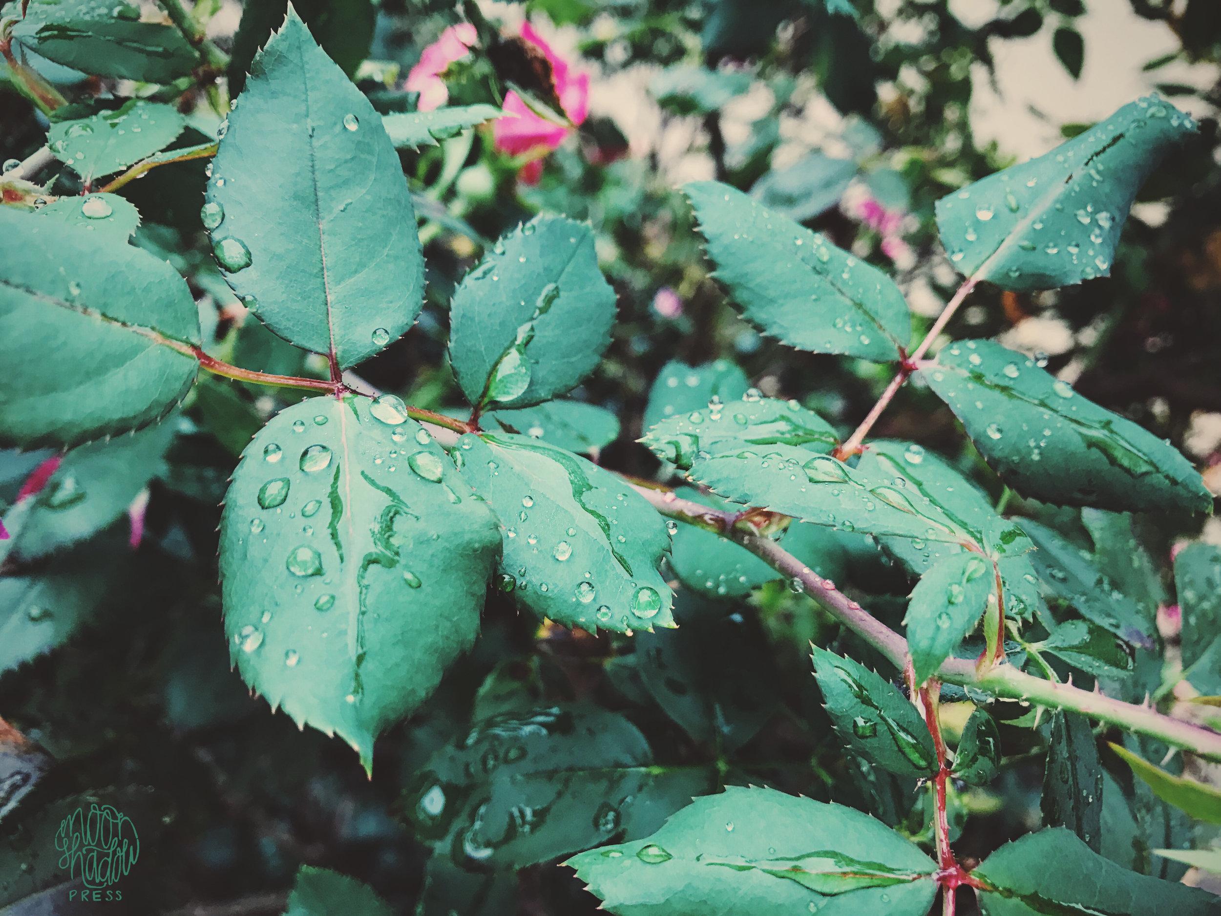 roses1bL.jpg
