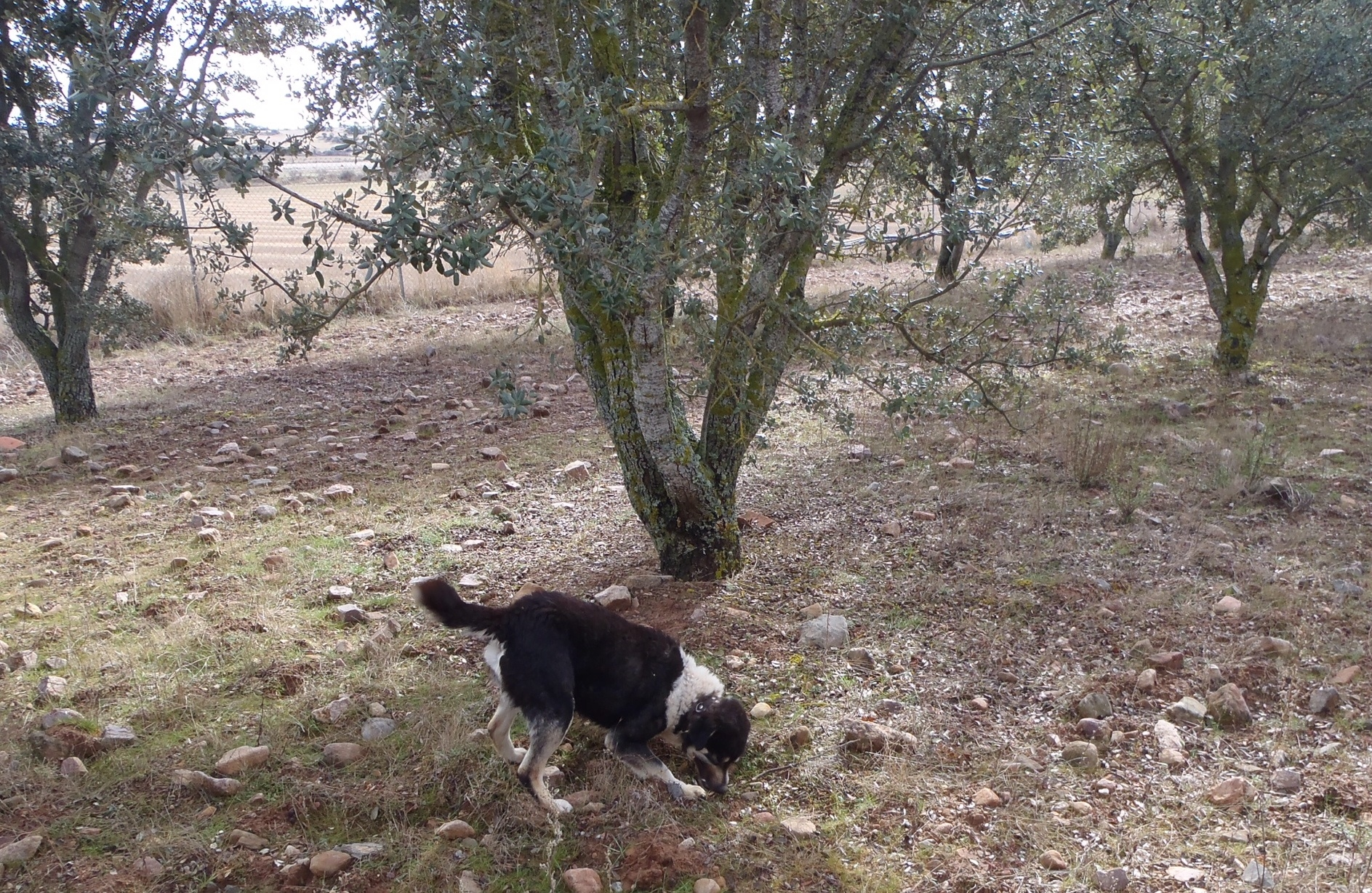 "Trusted Truffle dog ""Oli"" eager on the scent of ripe truffles!"