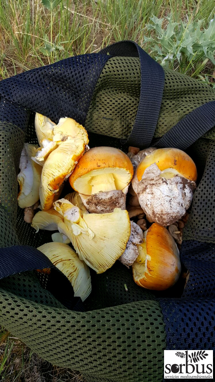 A bundle of fresh  Amanita caesarea  is many a mushroom hunter's dream!