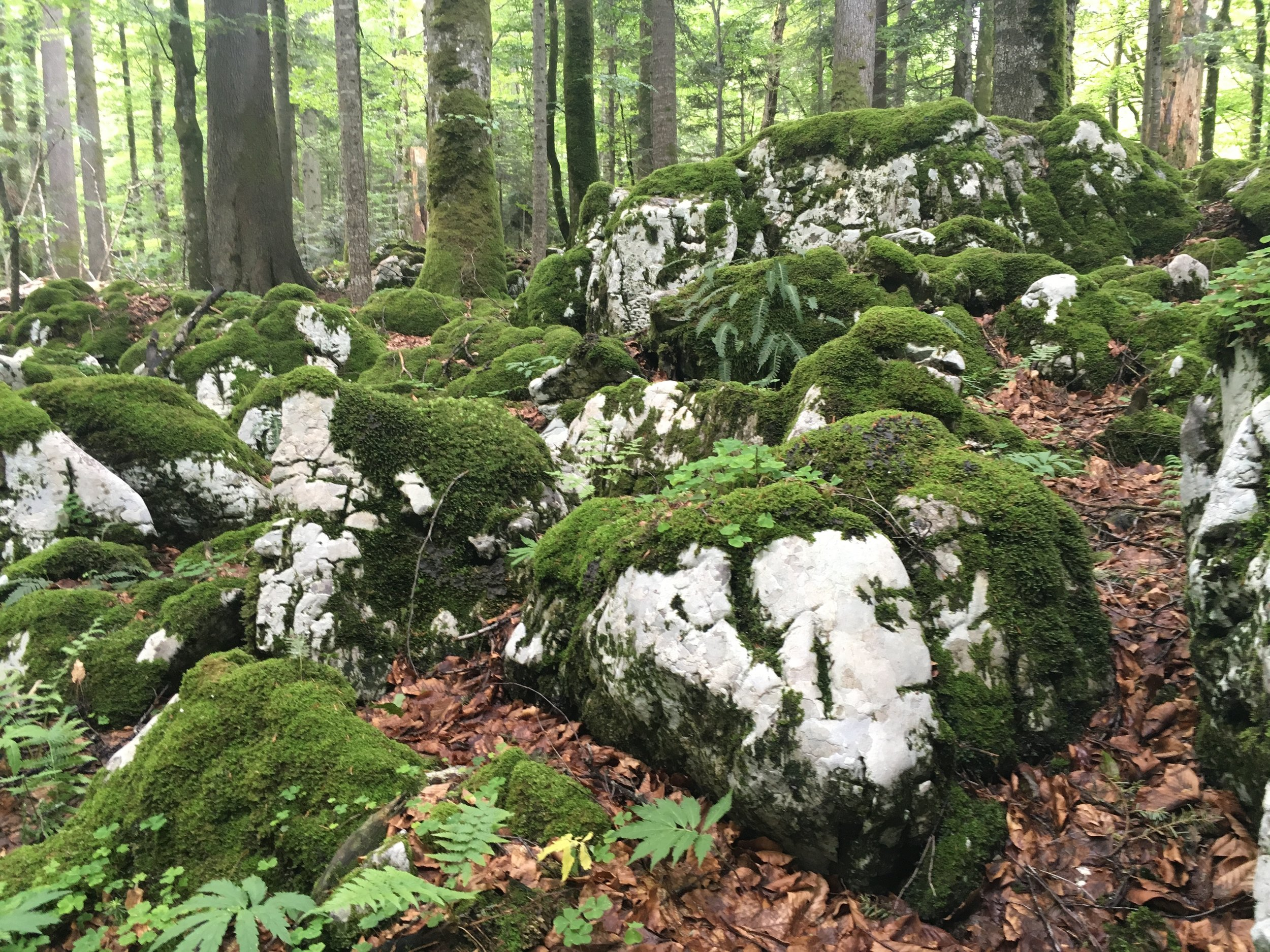 The moss-covered karst landscape supports the giant spruce and beech trees here near Plitvice lakes.