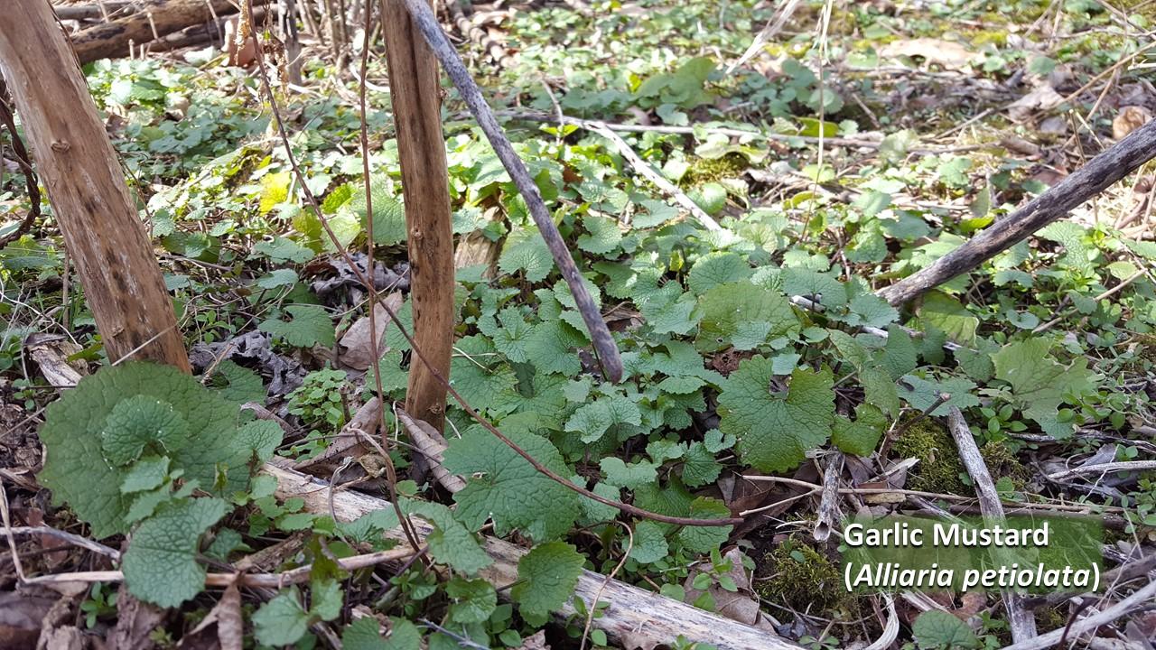 Garlic Mustard Basal Leaves Labeled.jpg