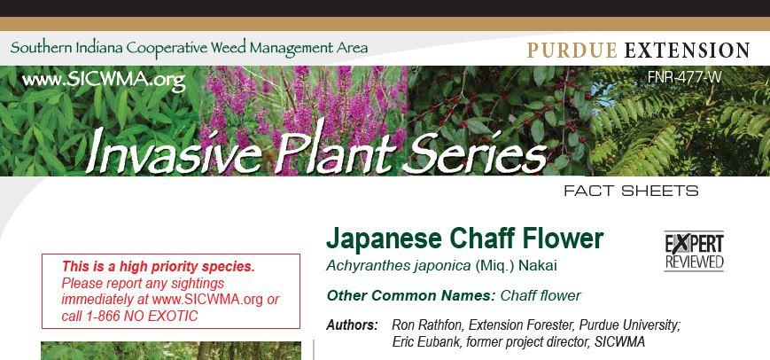 chaffflower-image.JPG