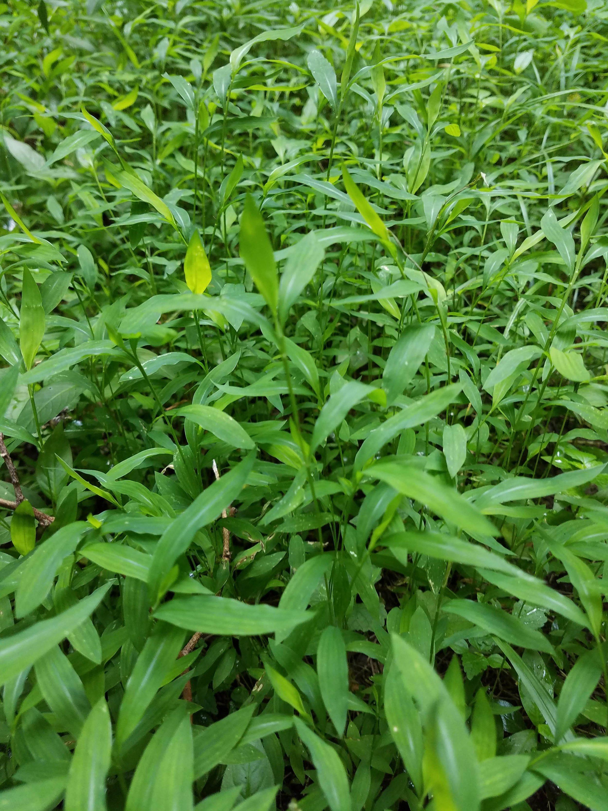 Japanese Stiltgrass