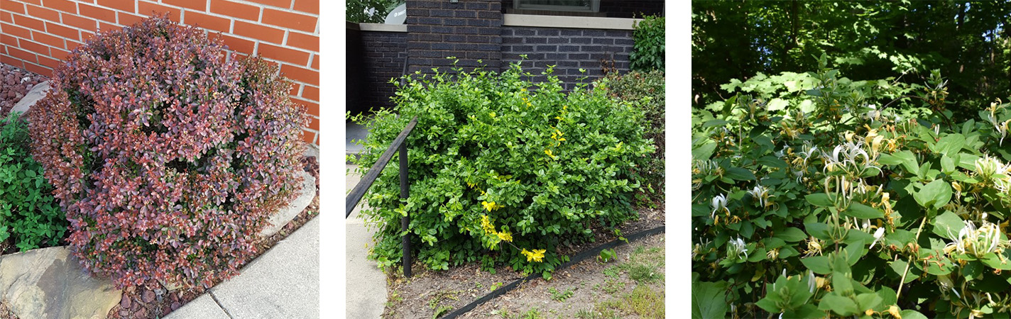 Left to Right: Japanese Barberry ( Berberis thunbergii ), Japanese Honeysuckle ( Lonicera japonica ), and Wintercreeper ( Euonymus fortunei ) are among the 44 prohibited plants in the rule.