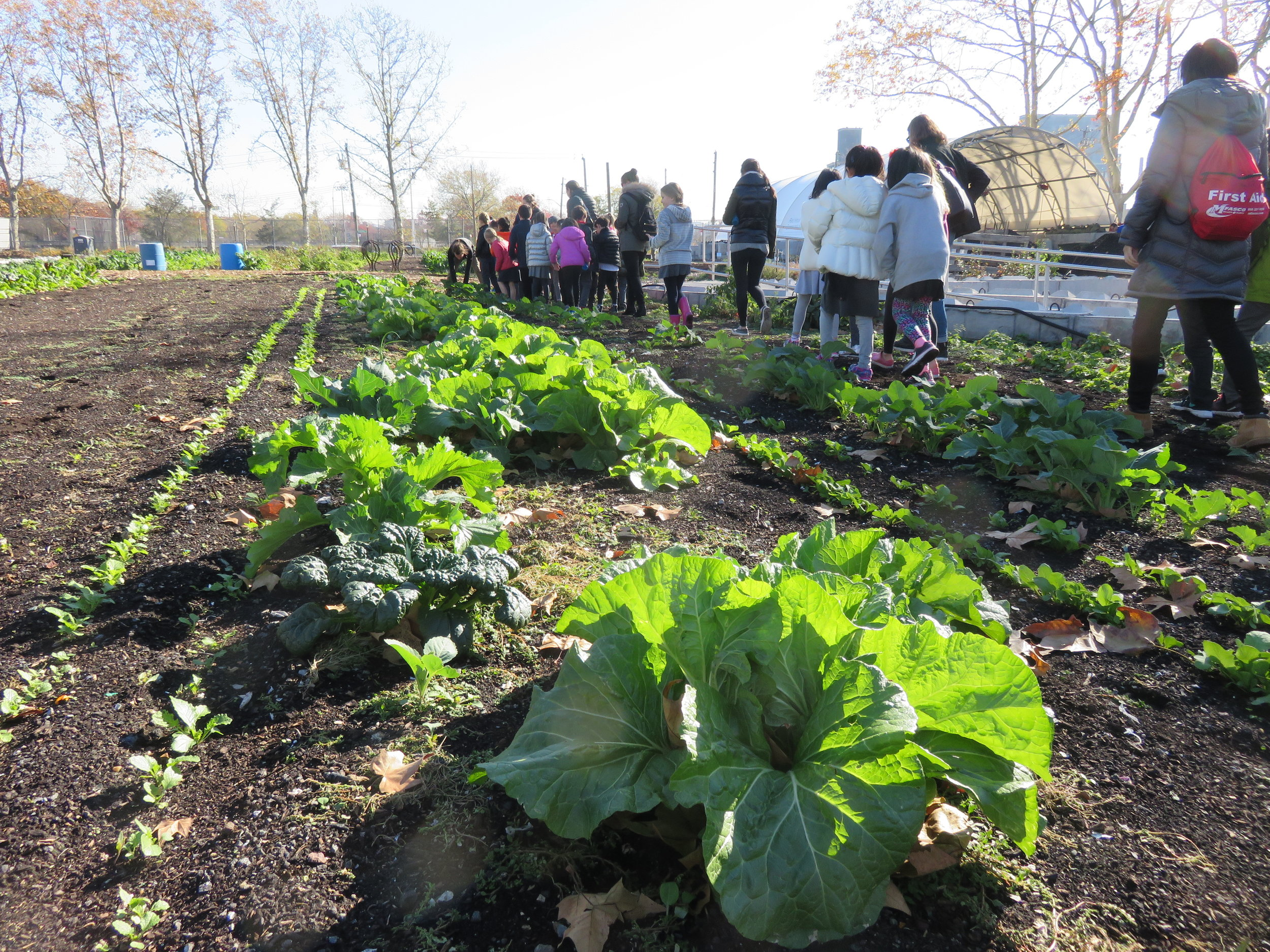 Students from the Brooklyn New School checking out our Napa Cabbages on a school visit!