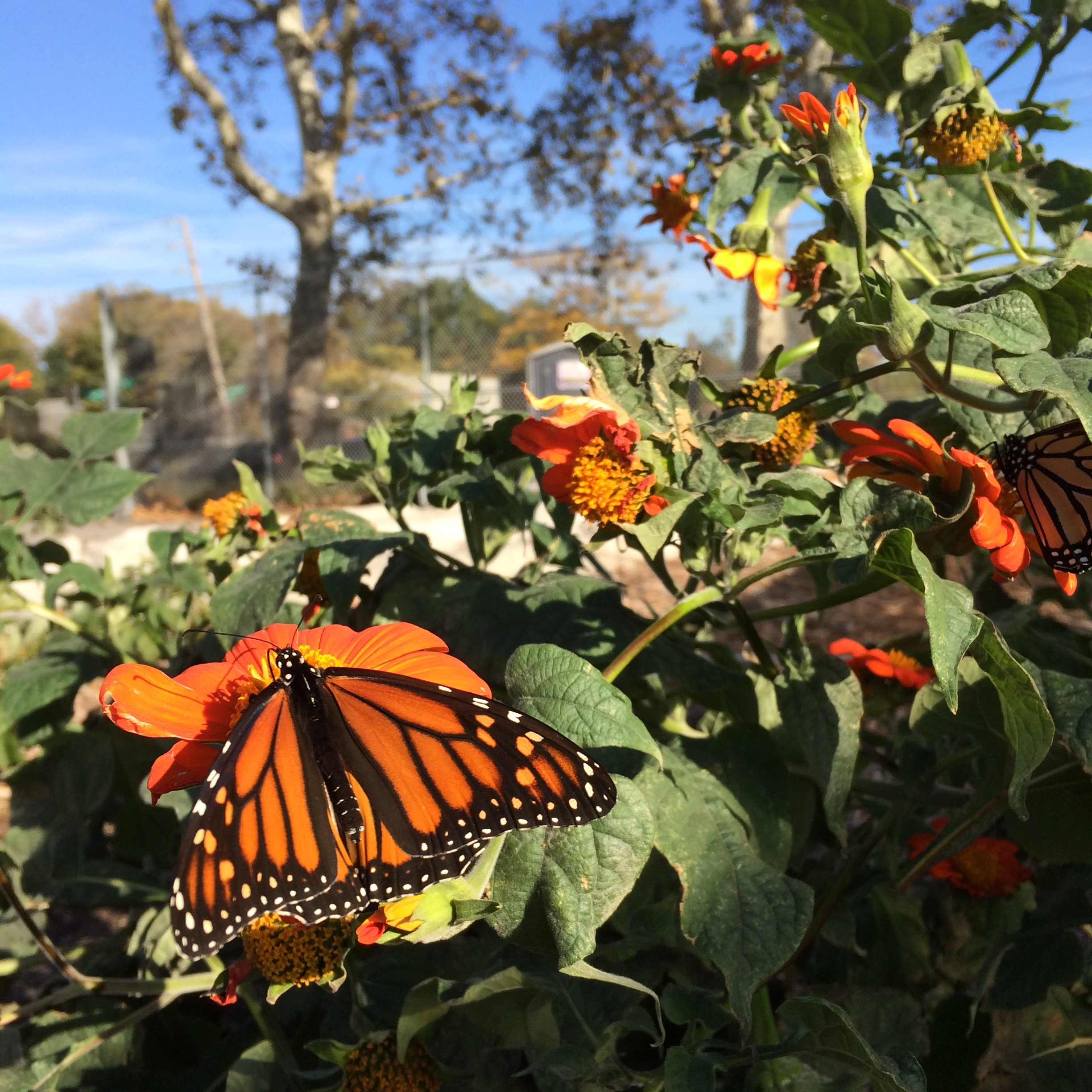 Monarchs visiting the farm
