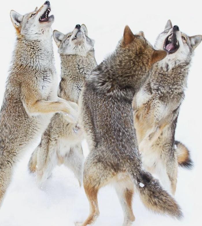 dancing coyote.PNG