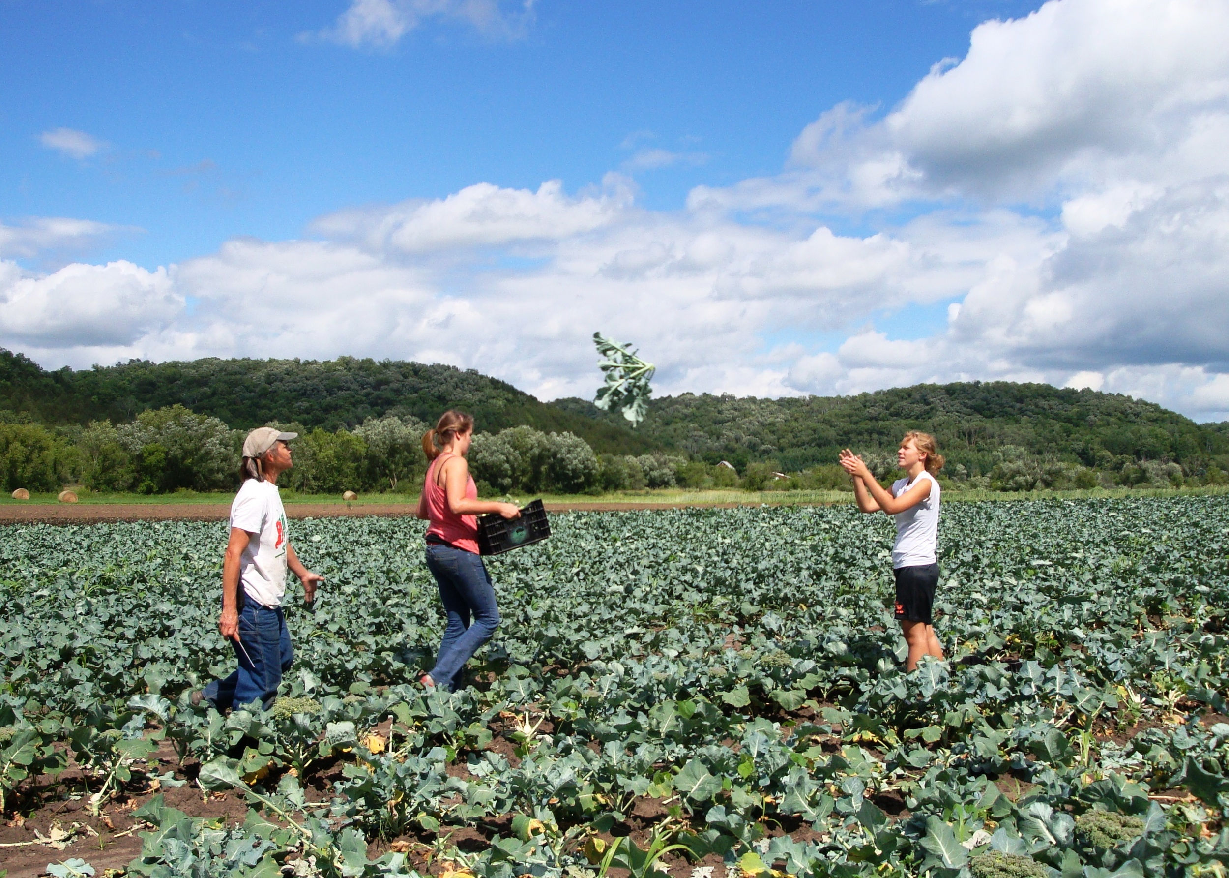 Broccoli Harvest Vermont Valley.JPG